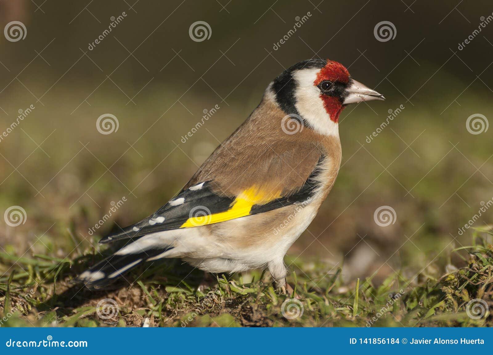 金翅雀- Carduelis carduelis,寻找食物、全身羽毛和颜色