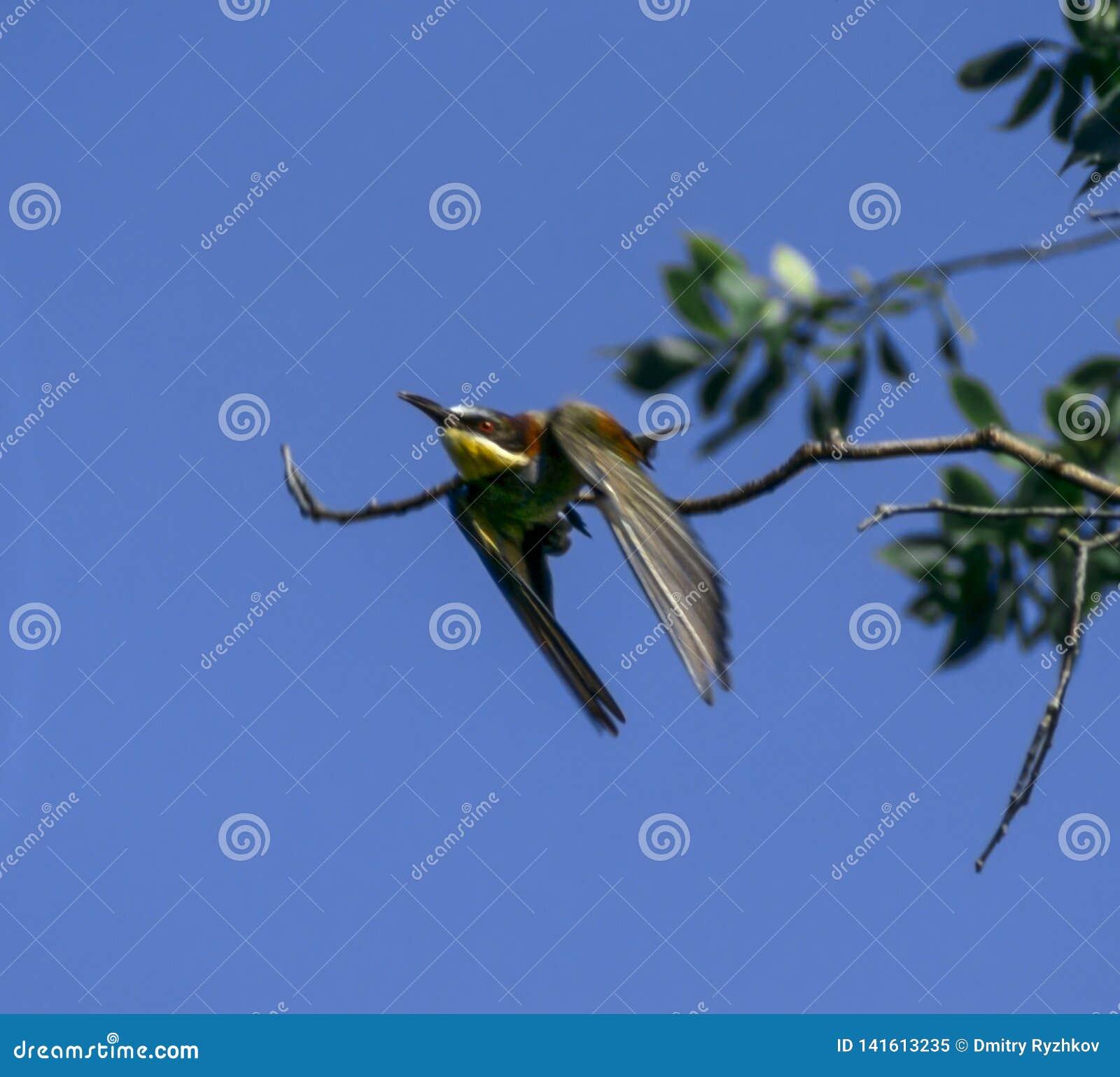 金黄矛或食蜂鸟食蜂鸟属apiaster是其中一只在飞行中最五颜六色的鸟