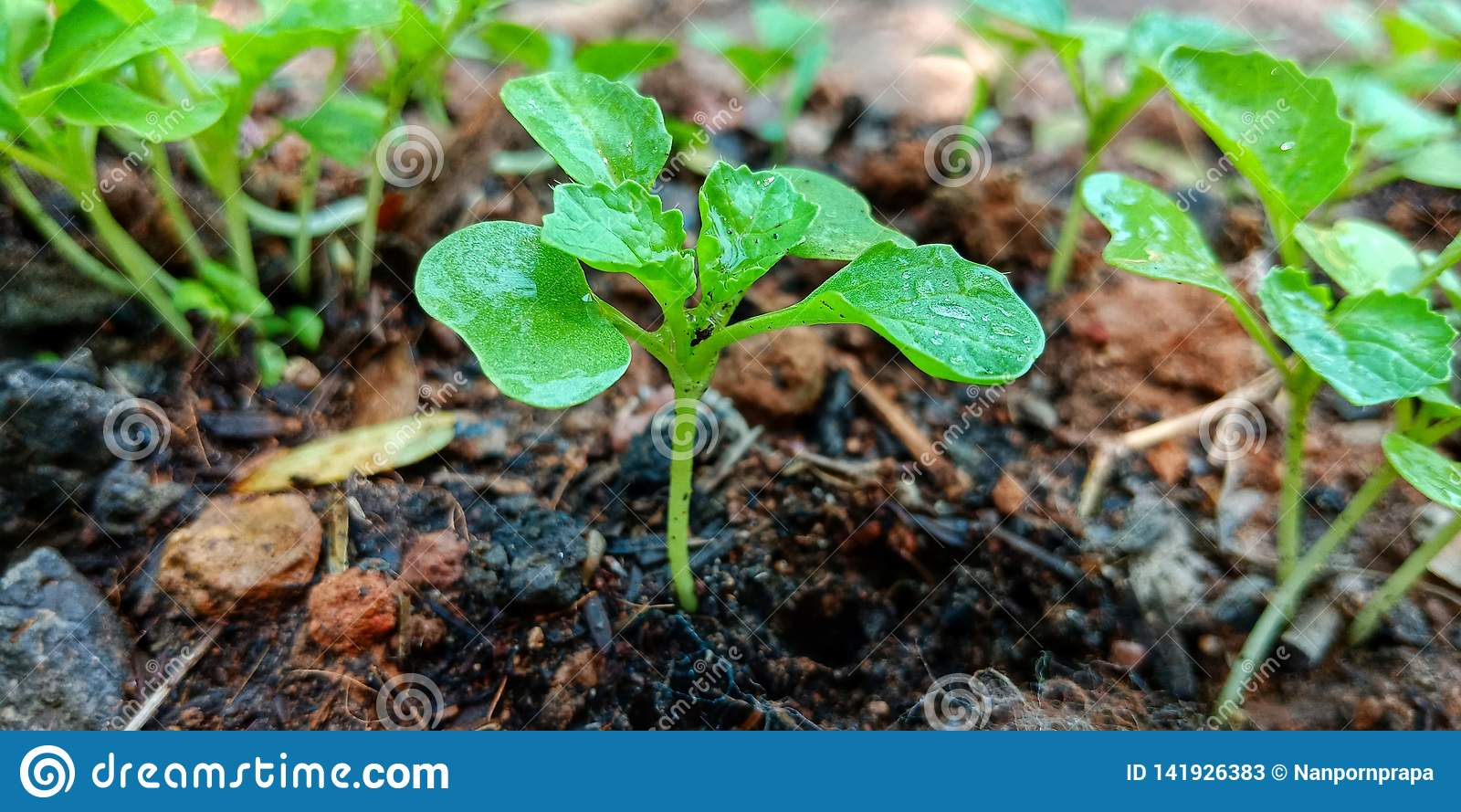 长大小的莴苣的