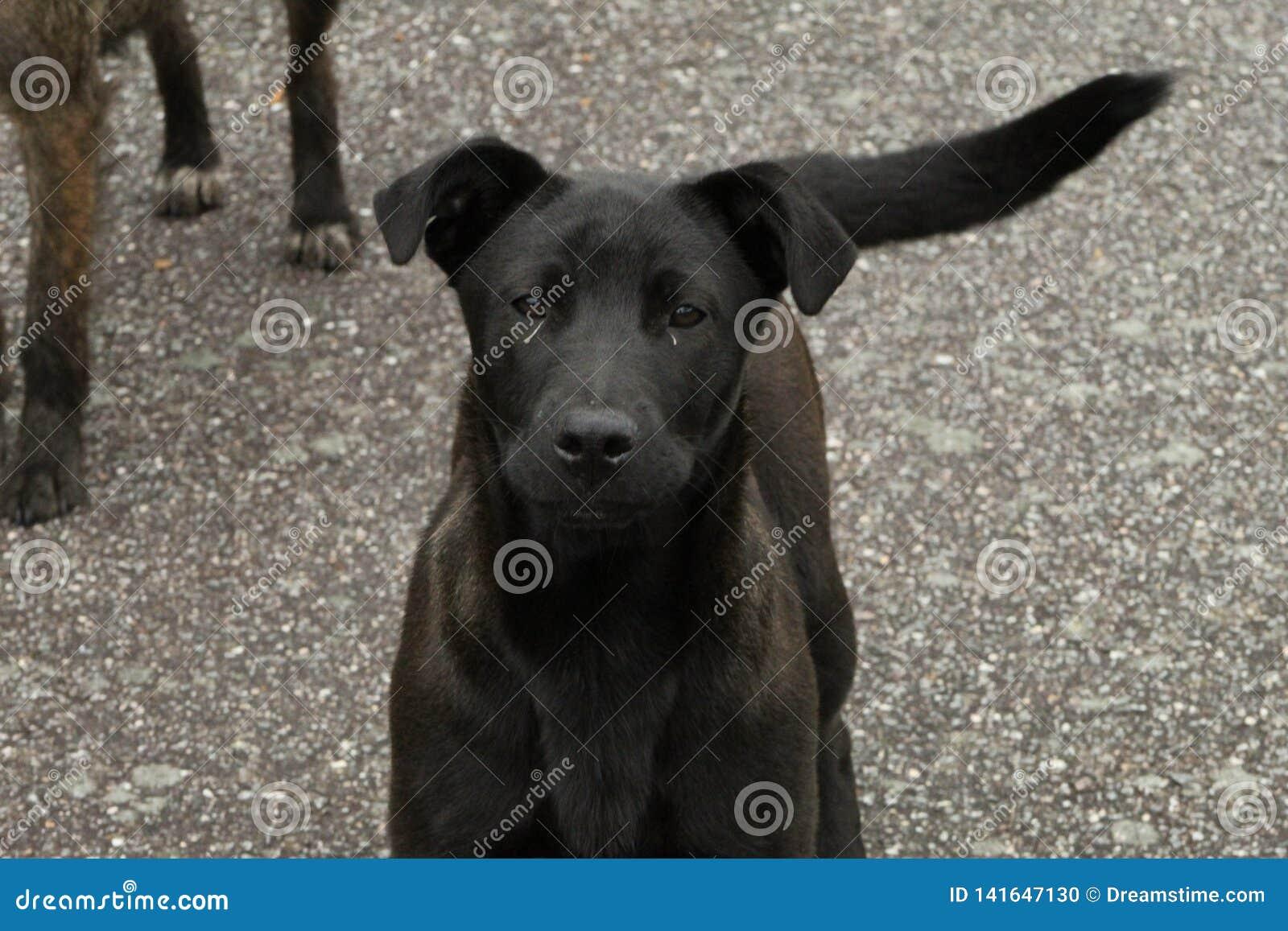 逗人喜爱的黑和灰色狗