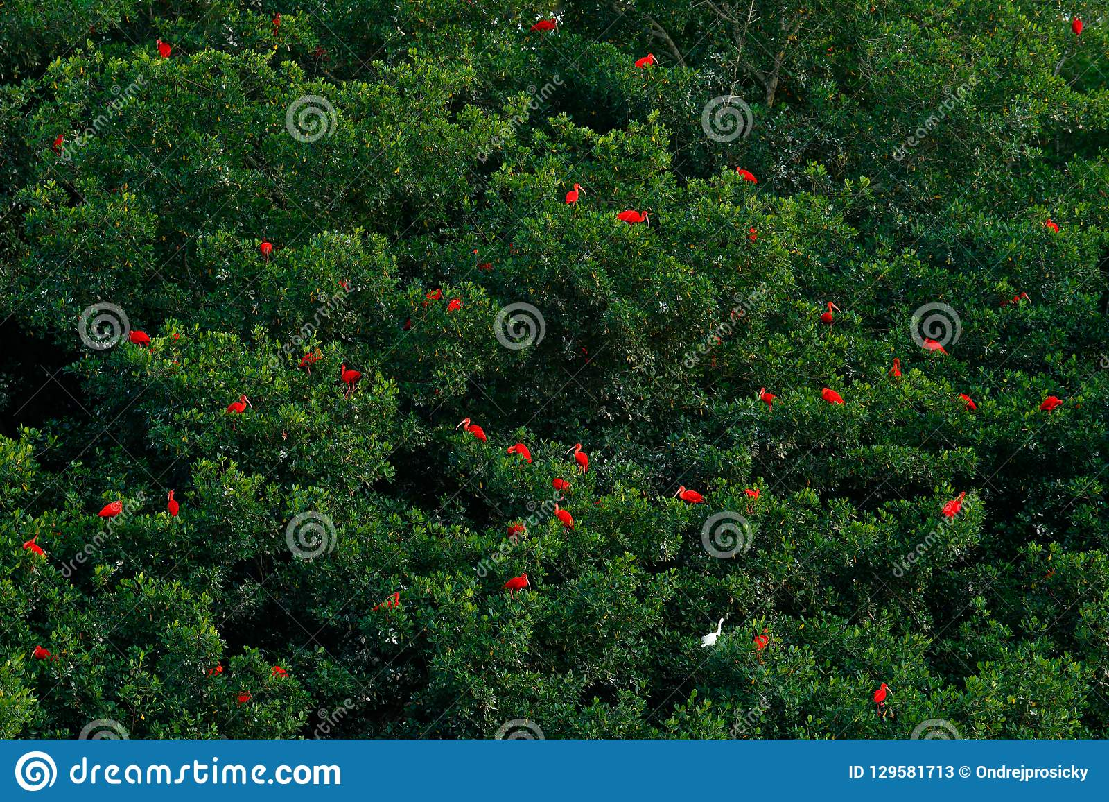 Écarlate IBIS, ruber d Eudocimus, oiseau rouge exotique, habitat de nature, colonie d oiseau s asseyant sur l arbre, marais de Ca