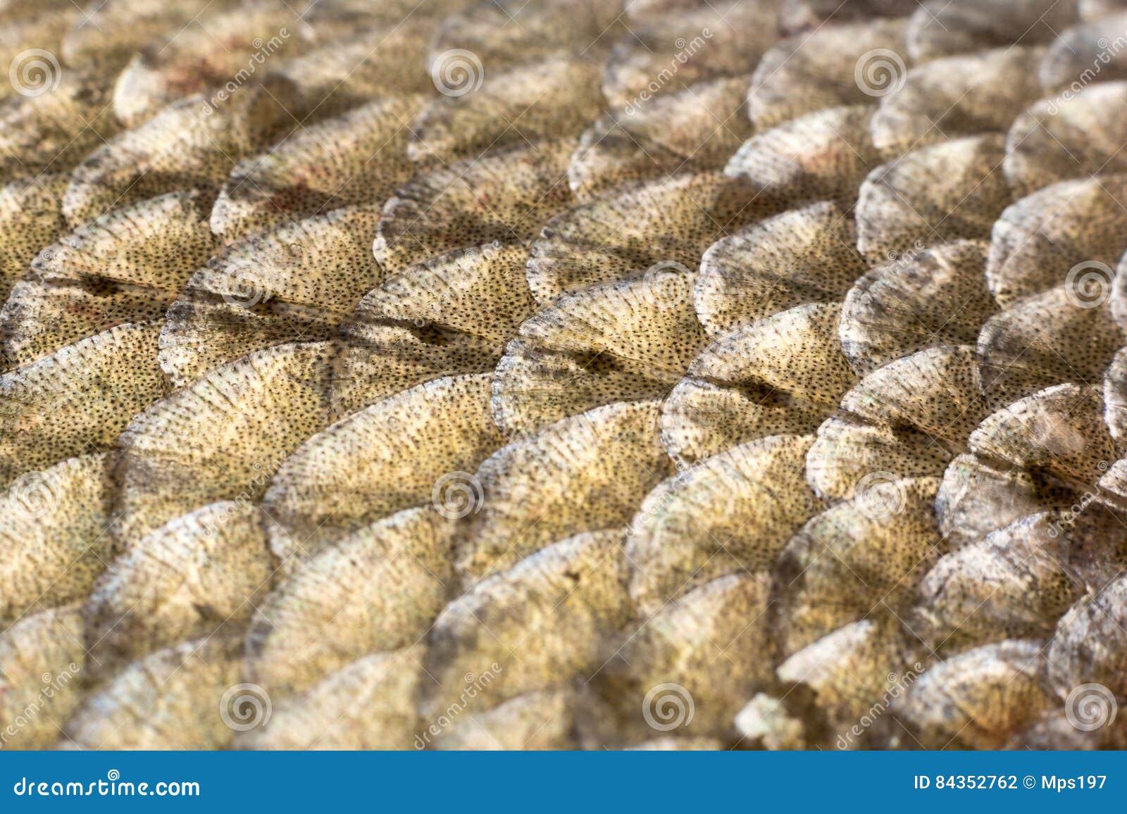 Échelles et ligne latérale de brème