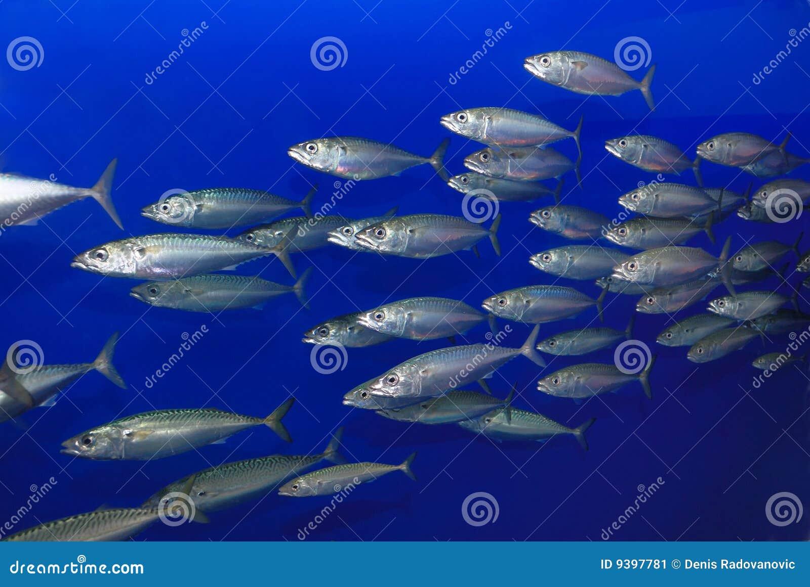école de sardines