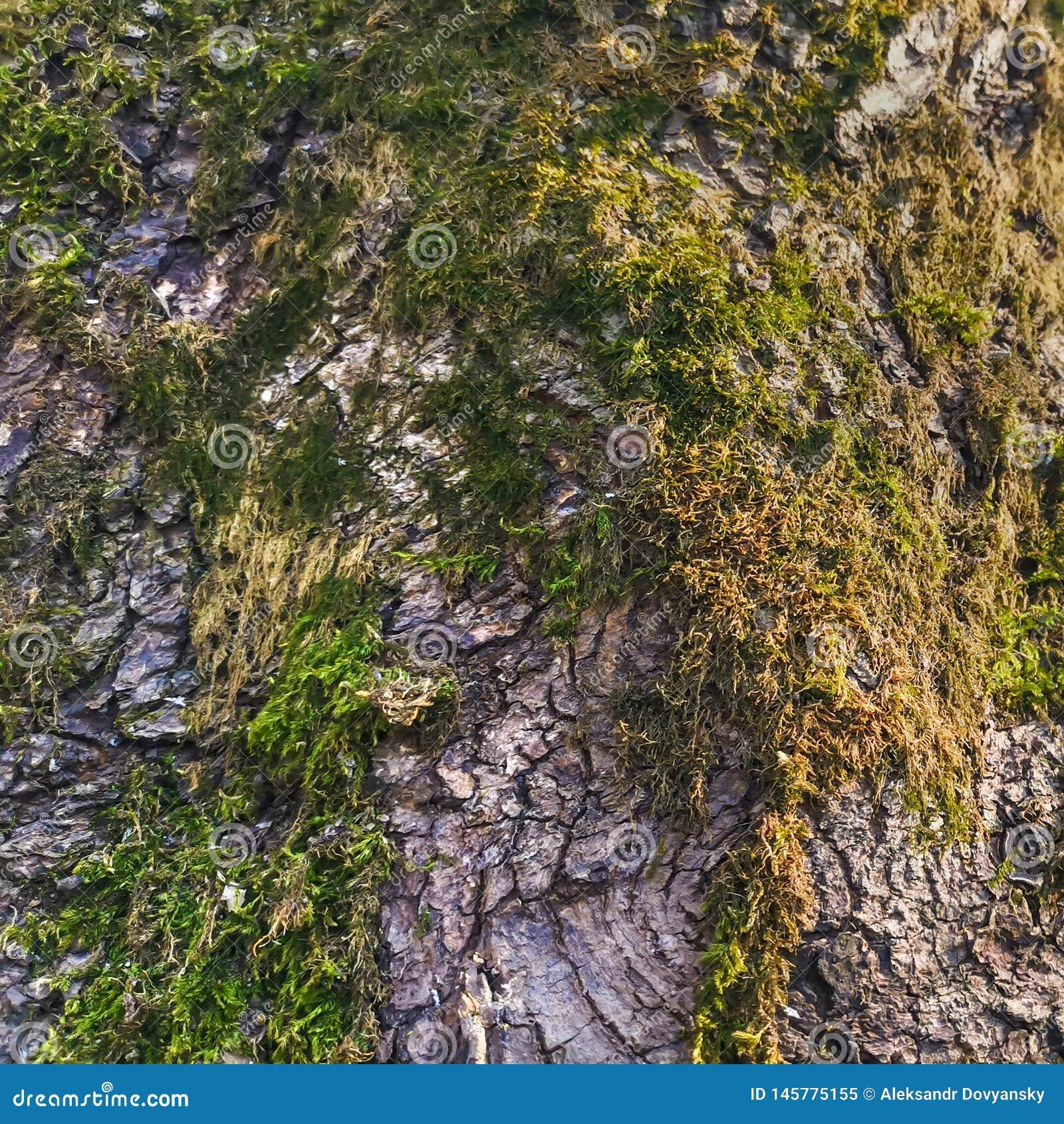 Écorce d arbre avec les fissures et la mousse verte