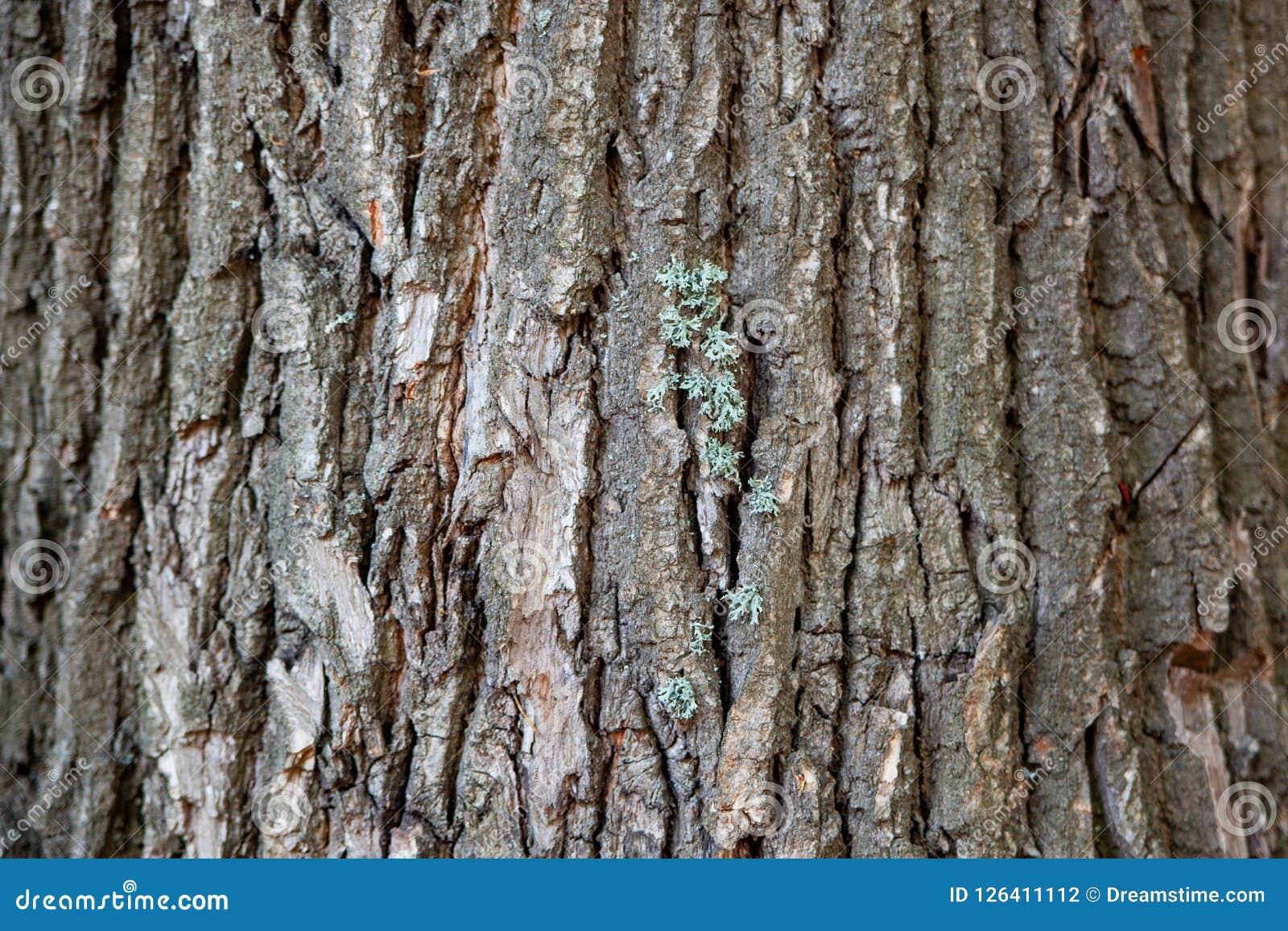 Écorce d arbre, tronc d arbre, vieil arbre, chêne