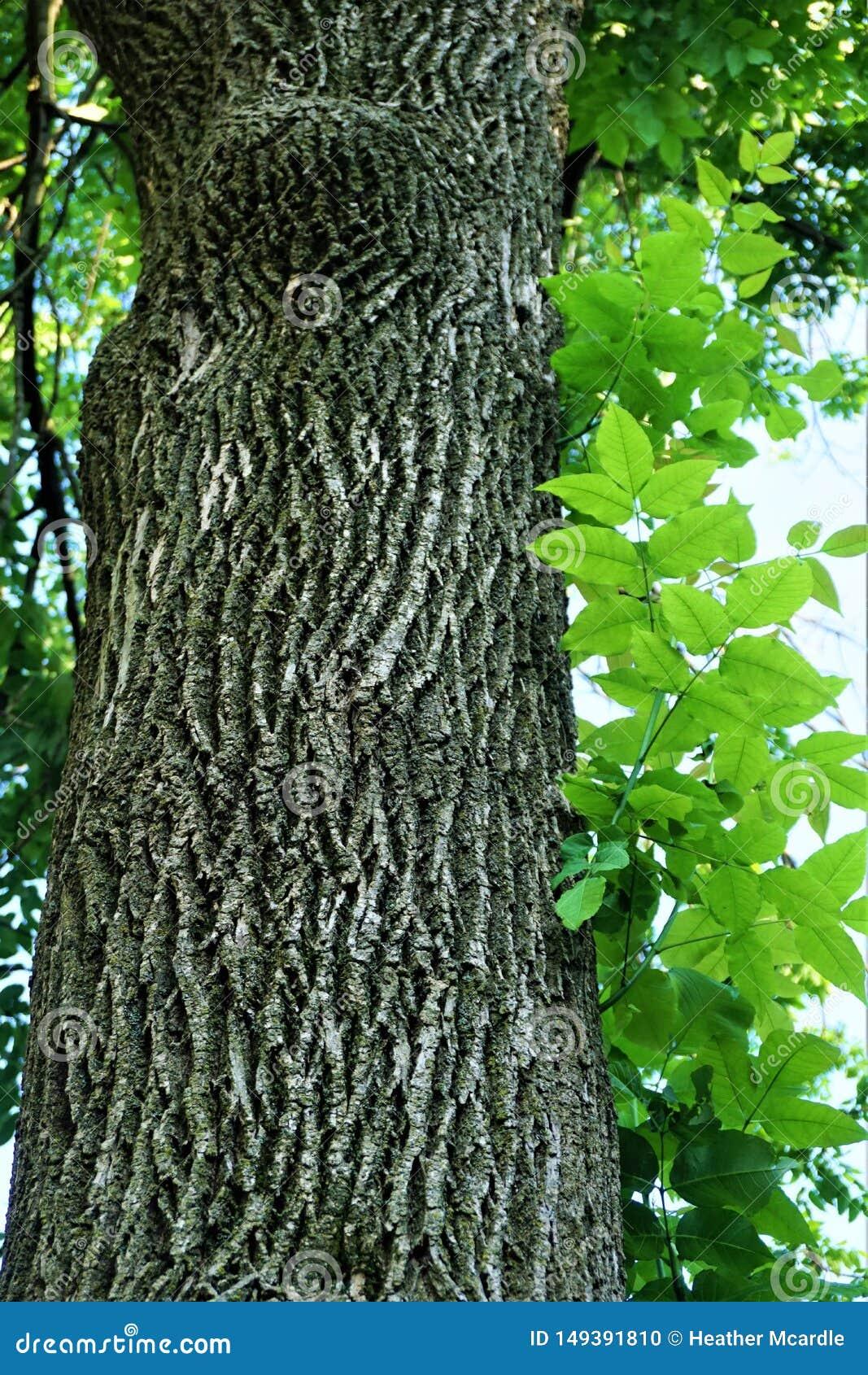 Écorce et feuilles d arbre de cendre