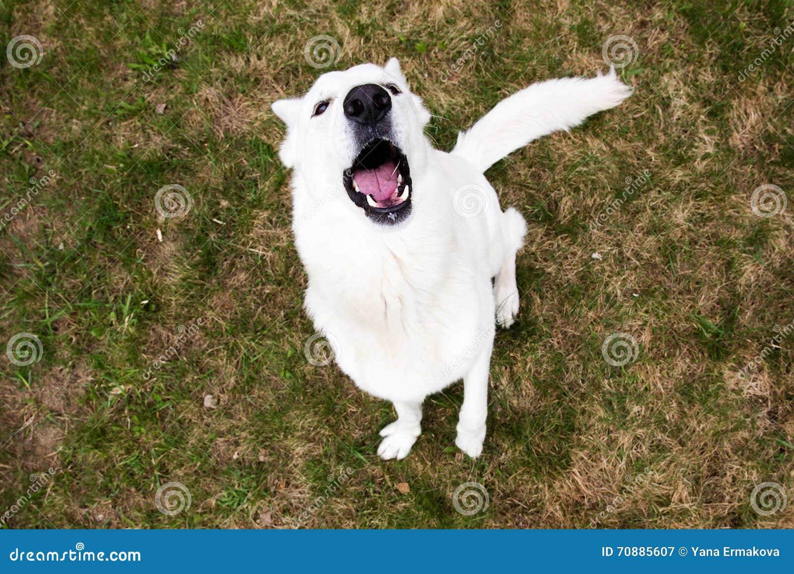 Écorcement suisse blanc de chien de berger