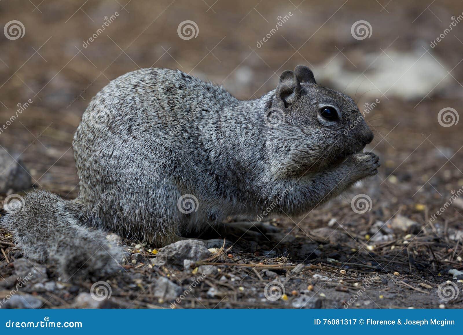 Écureuil amical dans Tucson, Arizona