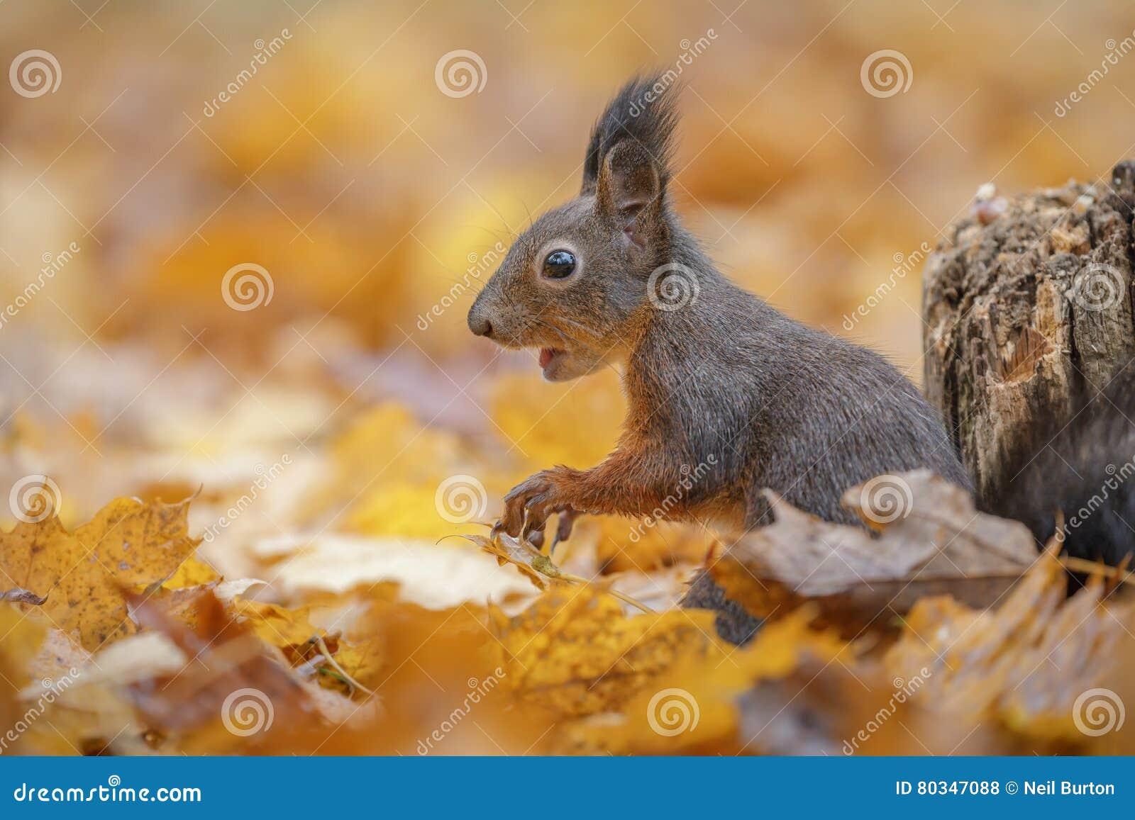 Écureuil d automne