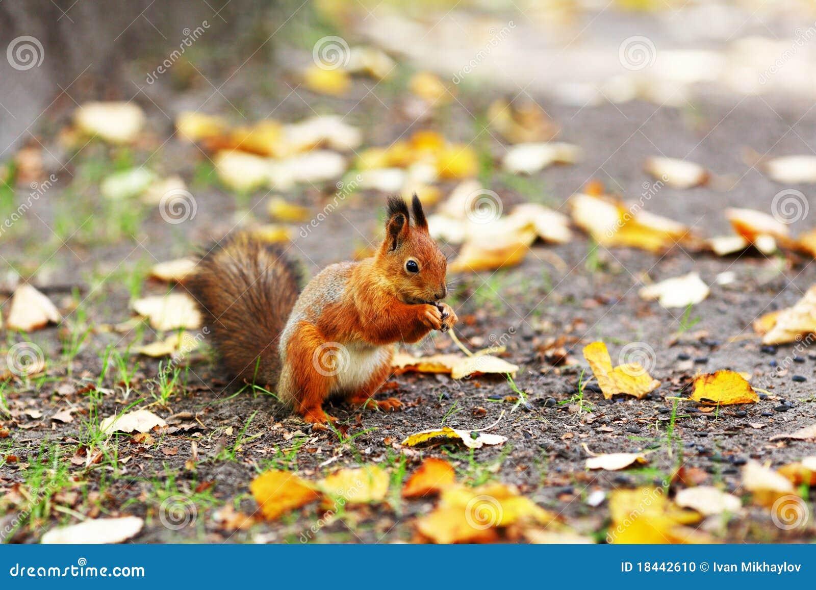 Écureuil Dans La Forêt D'automne Photo stock - Image: 18442610