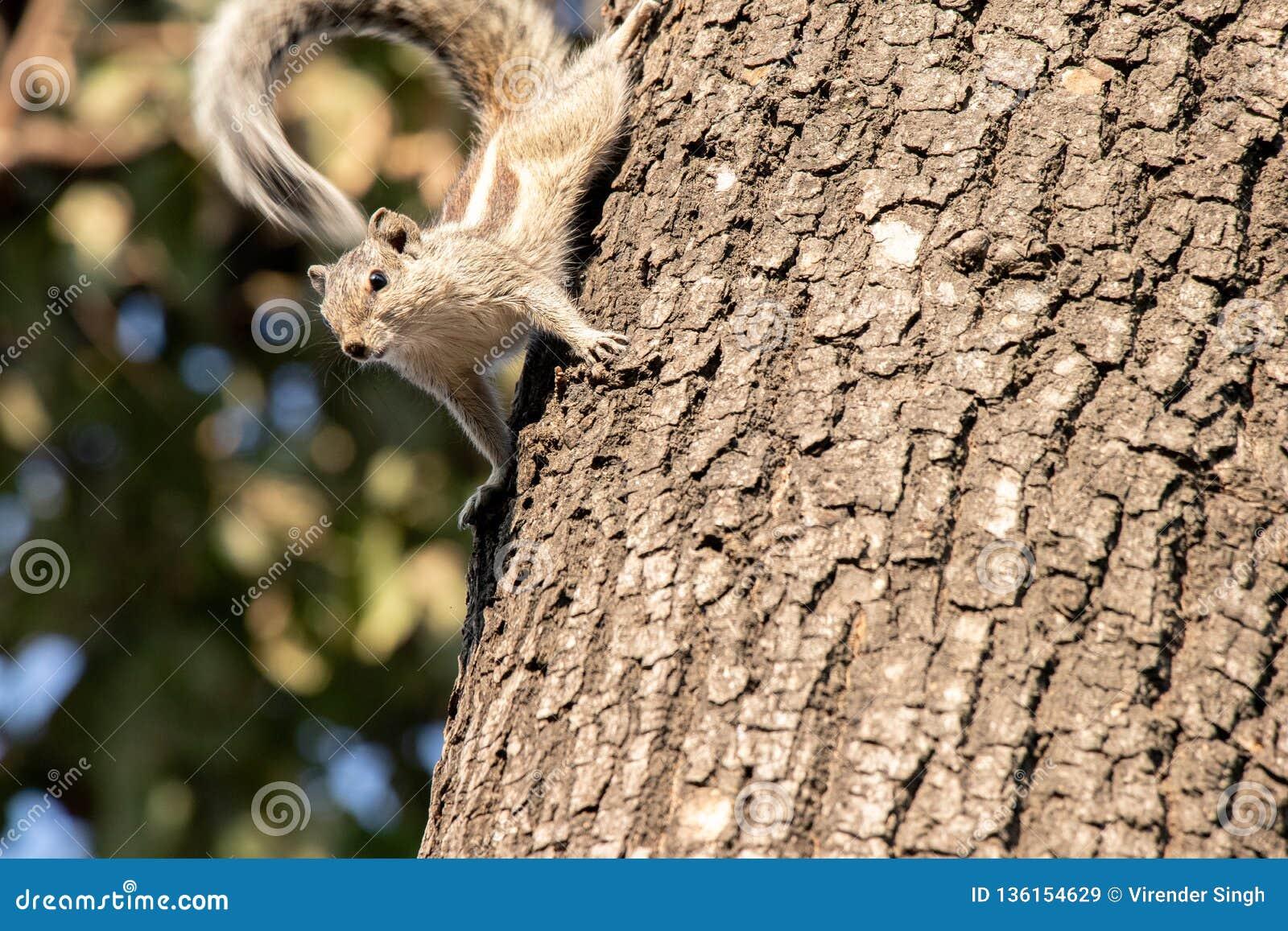 Écureuil de Gary s accrochant à un arbre