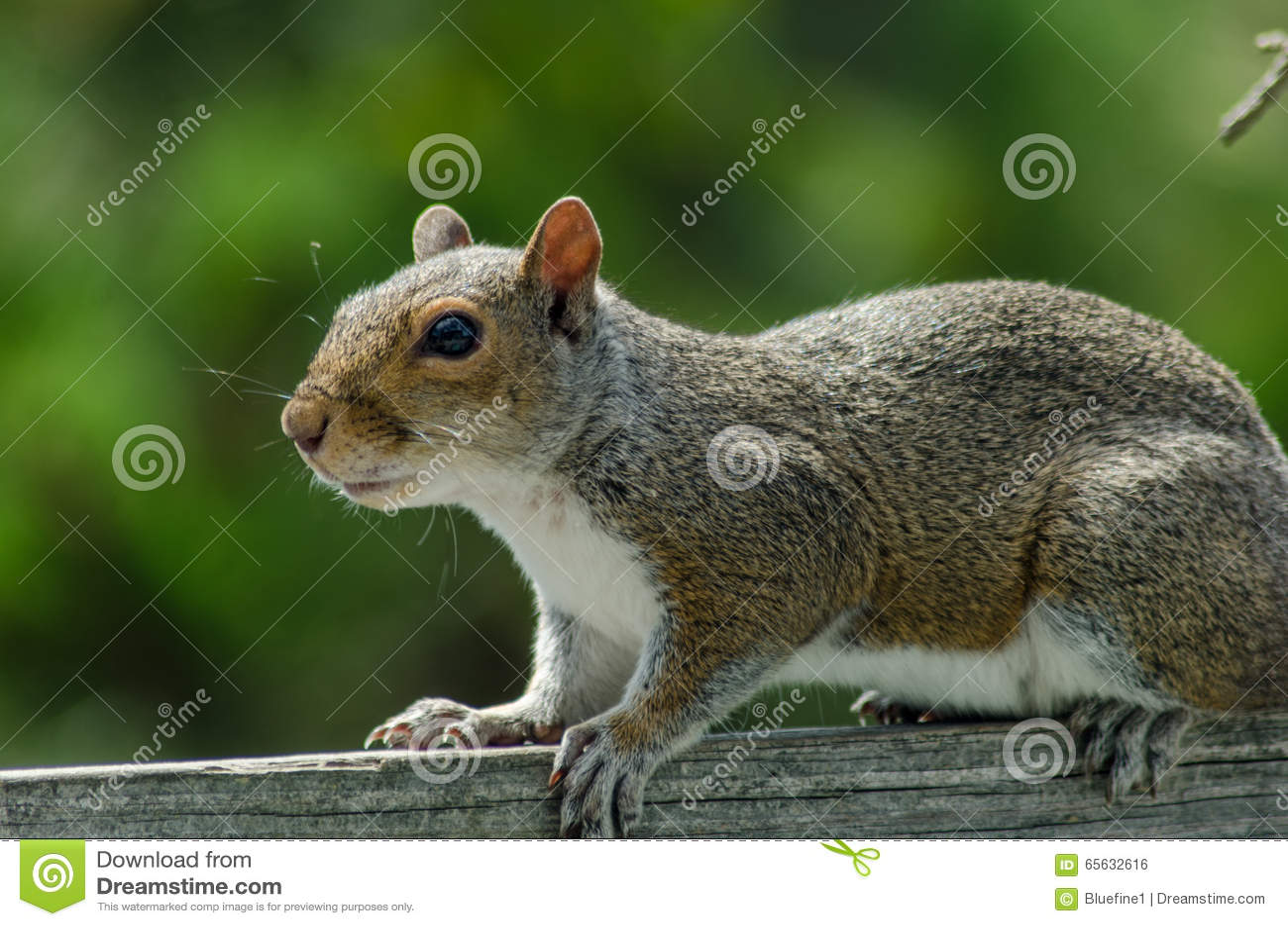 Écureuil de gris oriental