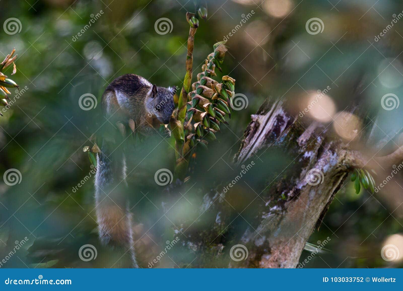 Écureuil en Costa Rica