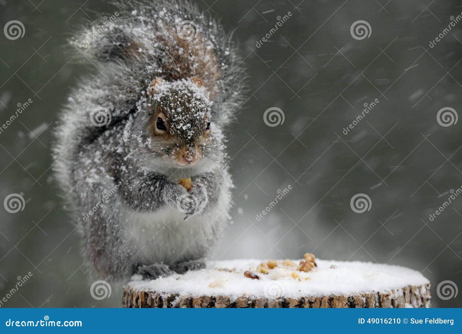 Écureuil en hiver