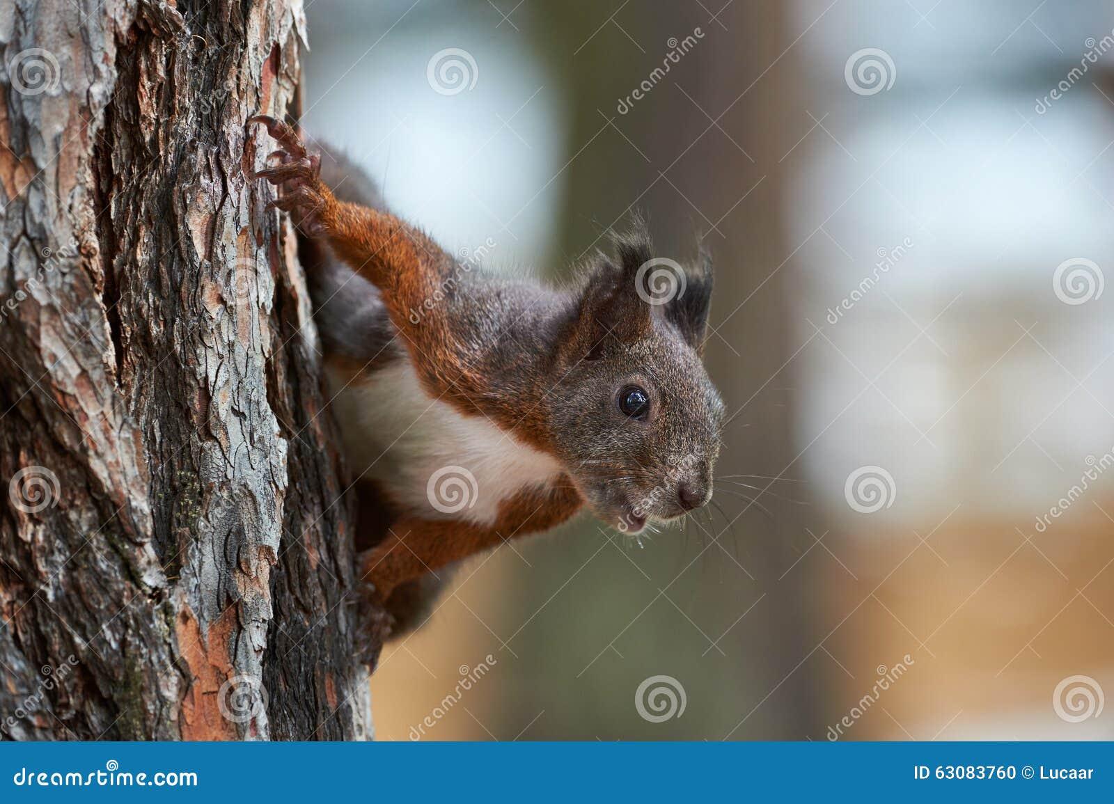 Download Écureuil européen curieux photo stock. Image du arbre - 63083760