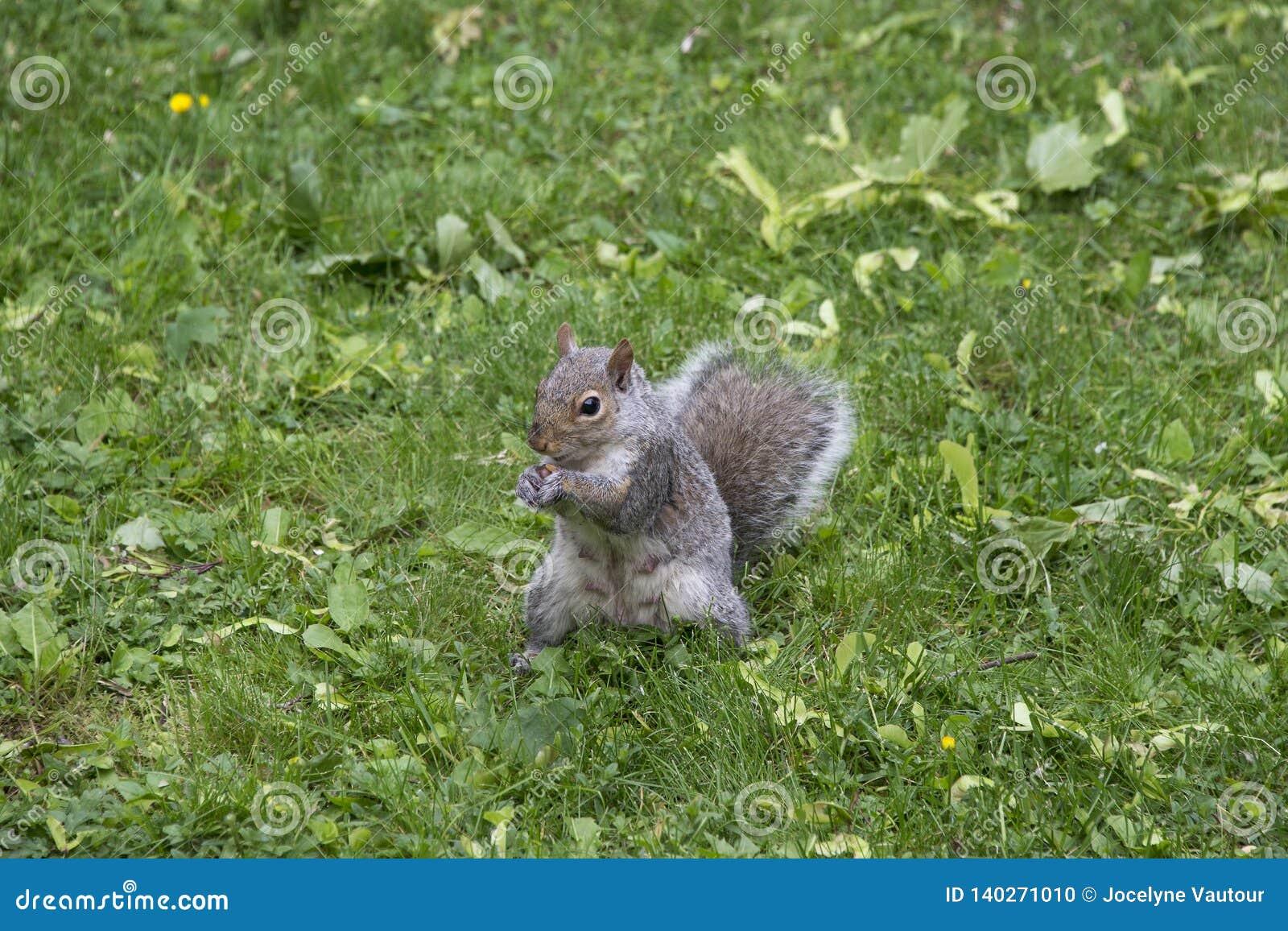 Écureuil gris mangeant dans une cour