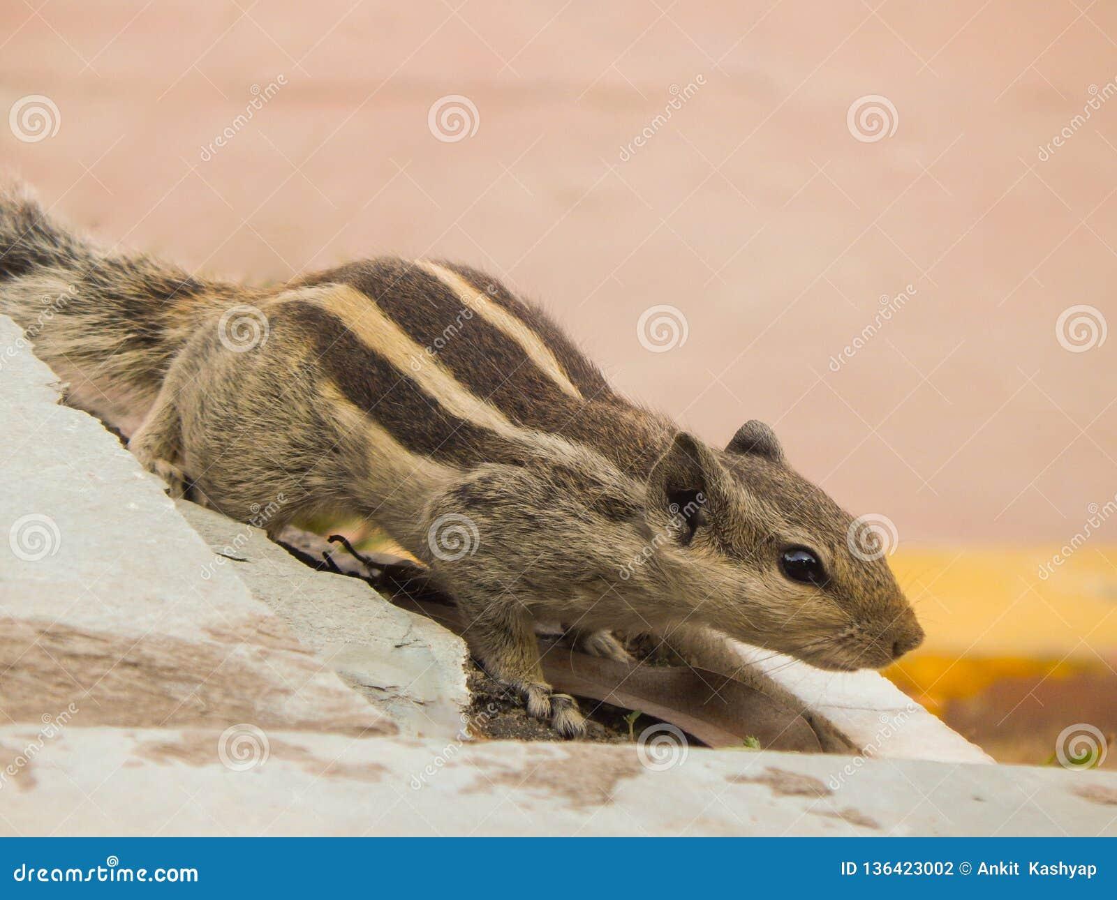 Écureuil indien de paume ayant trois rayures sur un mur