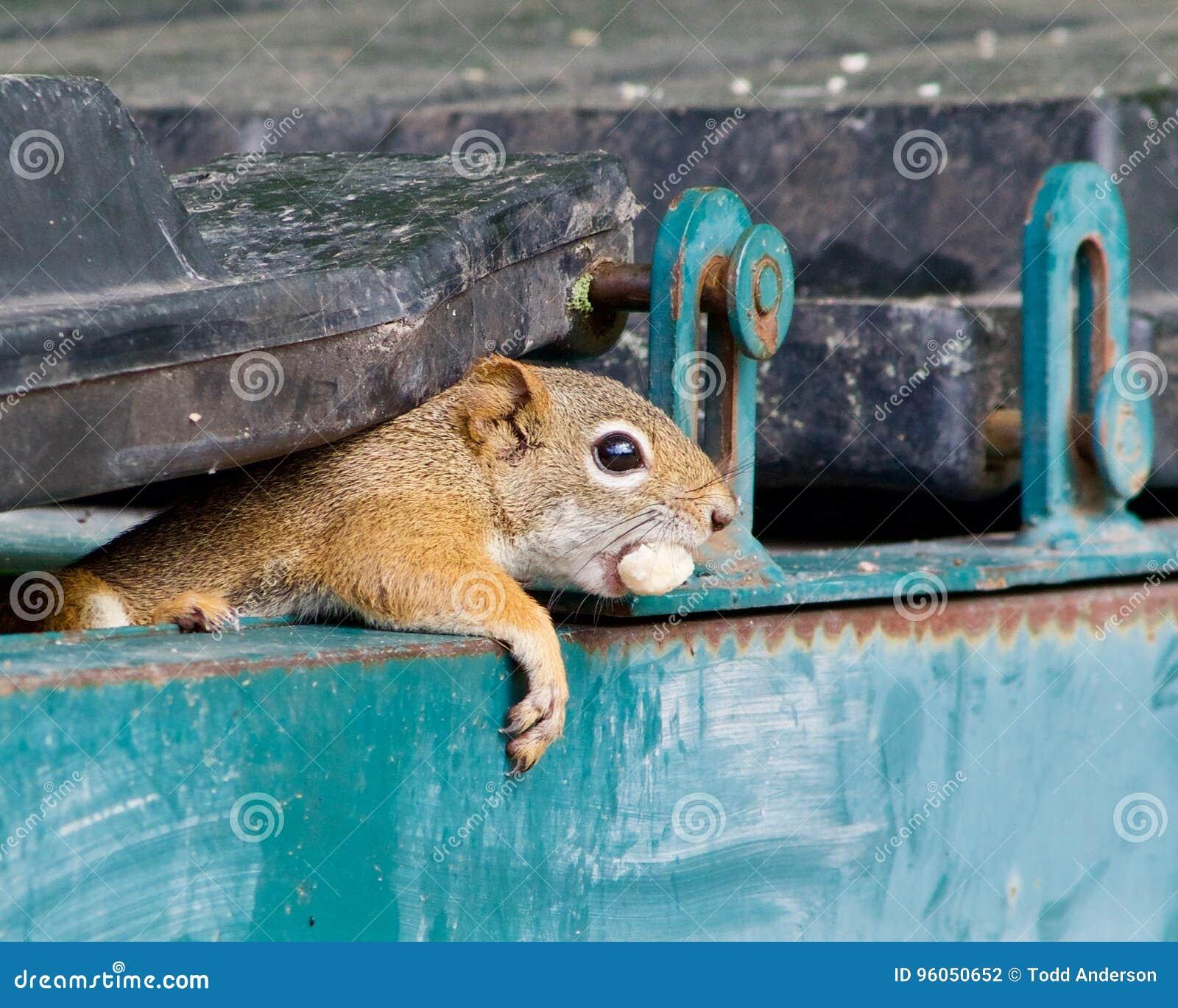 Écureuil jetant un coup d oeil hors de la poubelle de garage