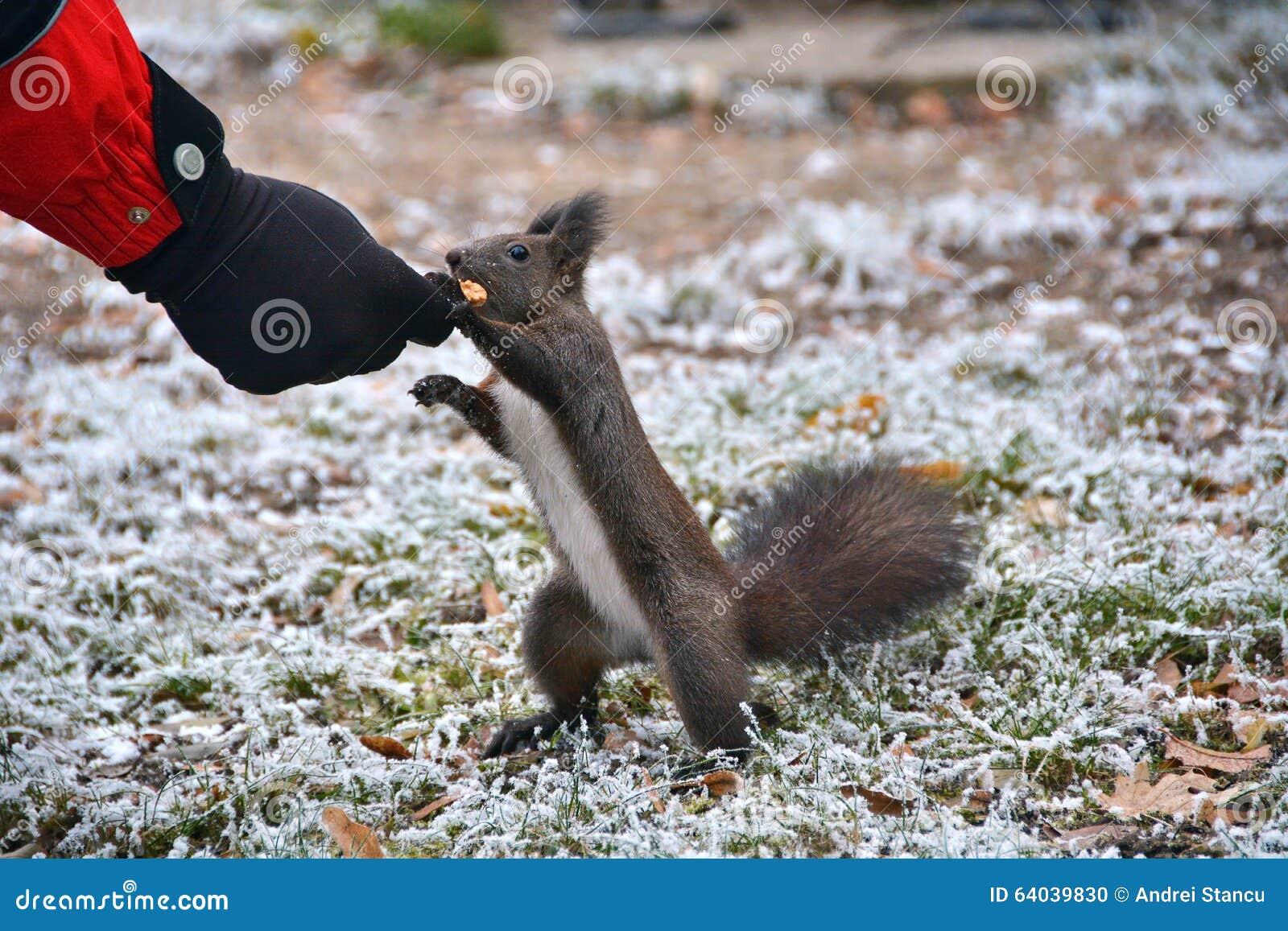 Écureuil mangeant de la main