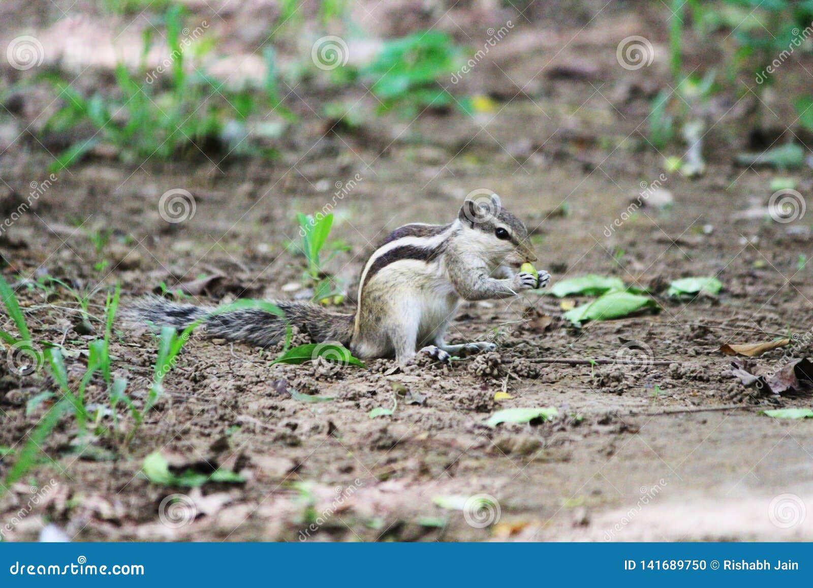 Écureuil mangeant des écrous en parc