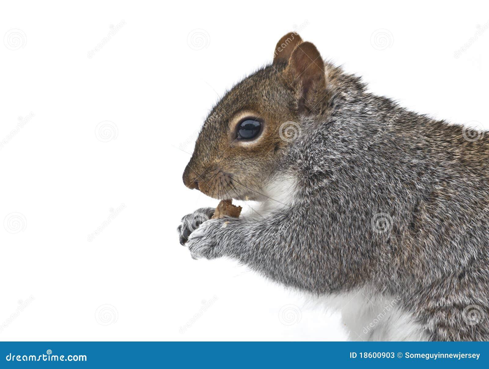 Écureuil mangeant la miette