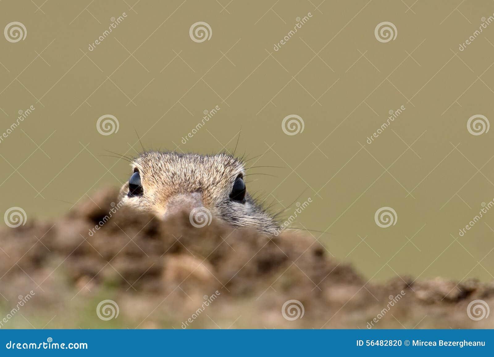 Écureuil moulu européen sur le champ (citellus de Spermophilus)