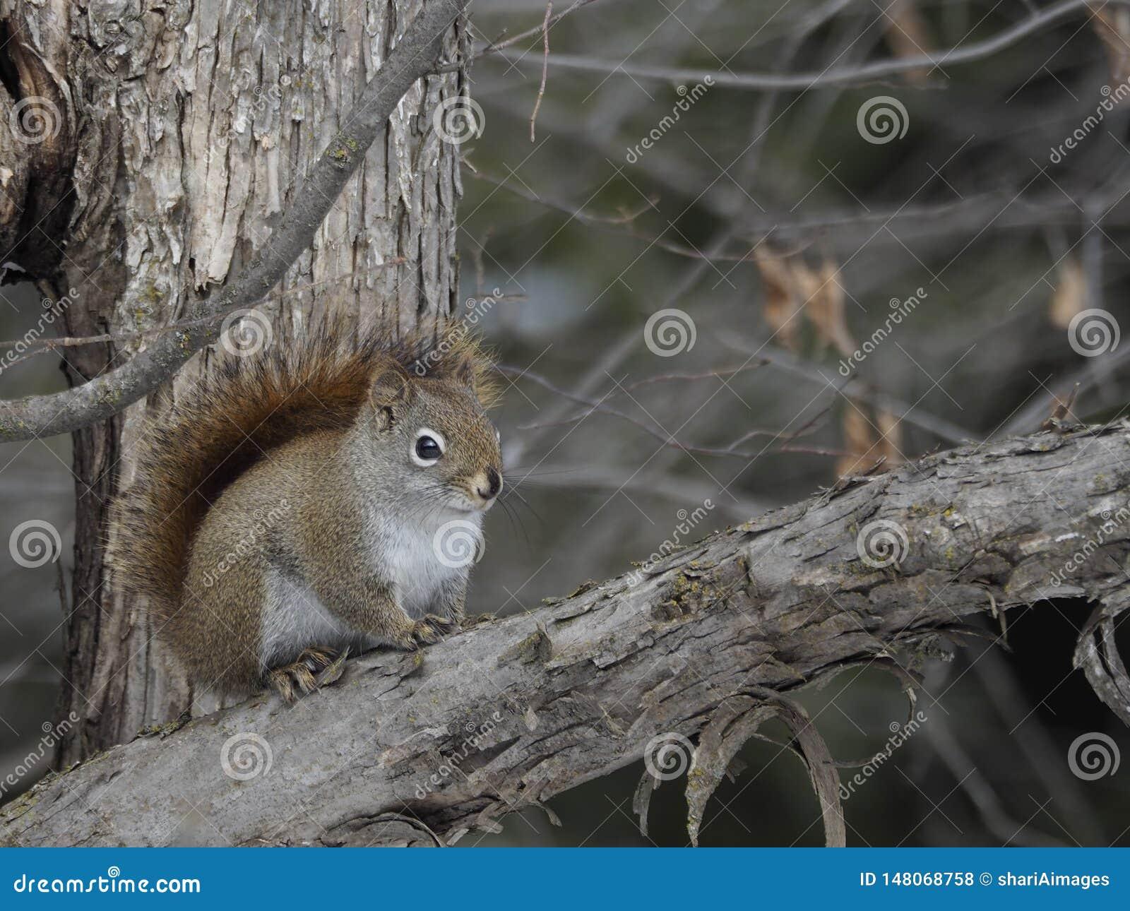 Écureuil rouge du nord vibrant d une distance de sécurité