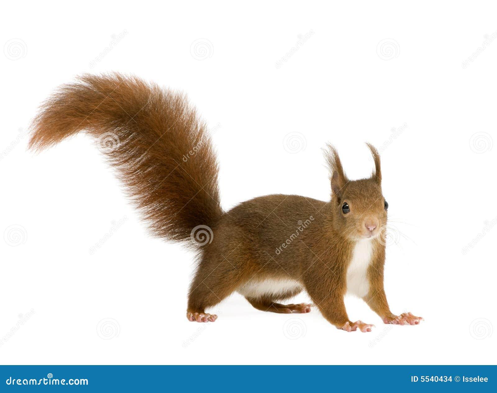 Écureuil rouge eurasien - Sciurus vulgaris (2 ans)