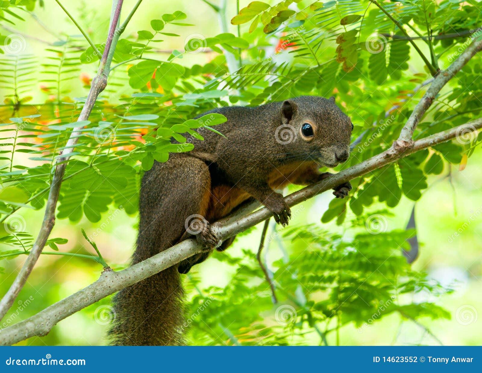 Écureuil sauvage asiatique de plantain