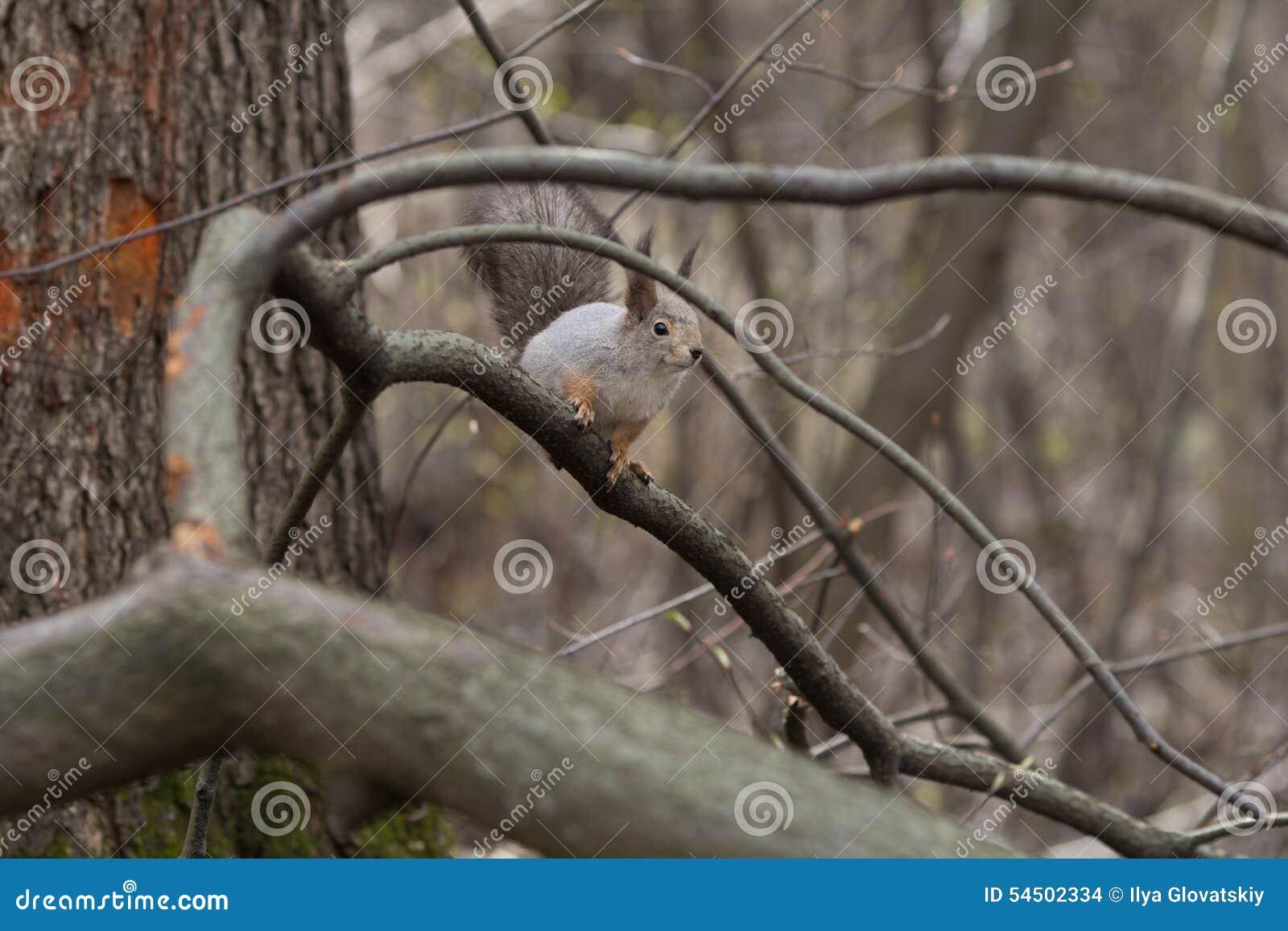 Écureuil sur l arbre