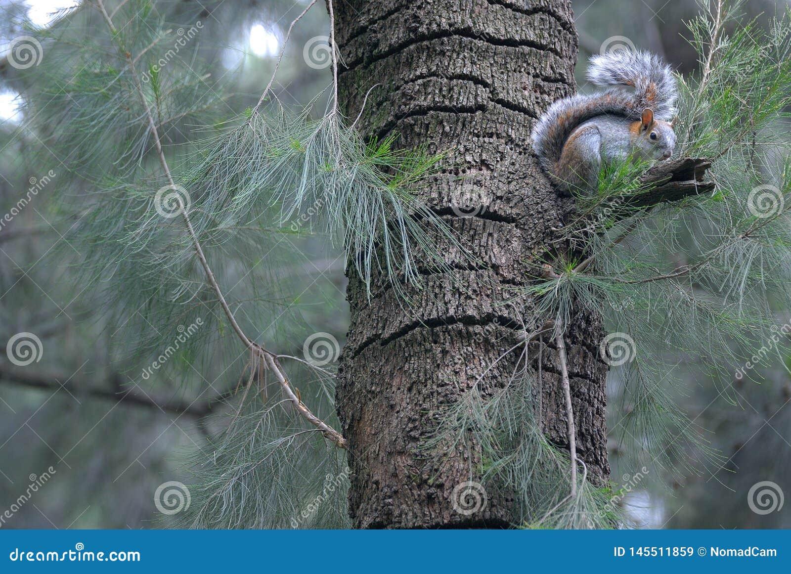 ?cureuil sur un arbre dans la for?t Mexique