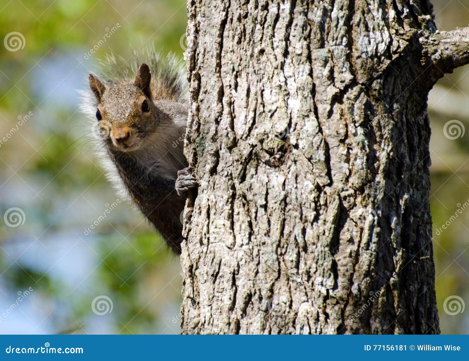 Écureuil vous regardant