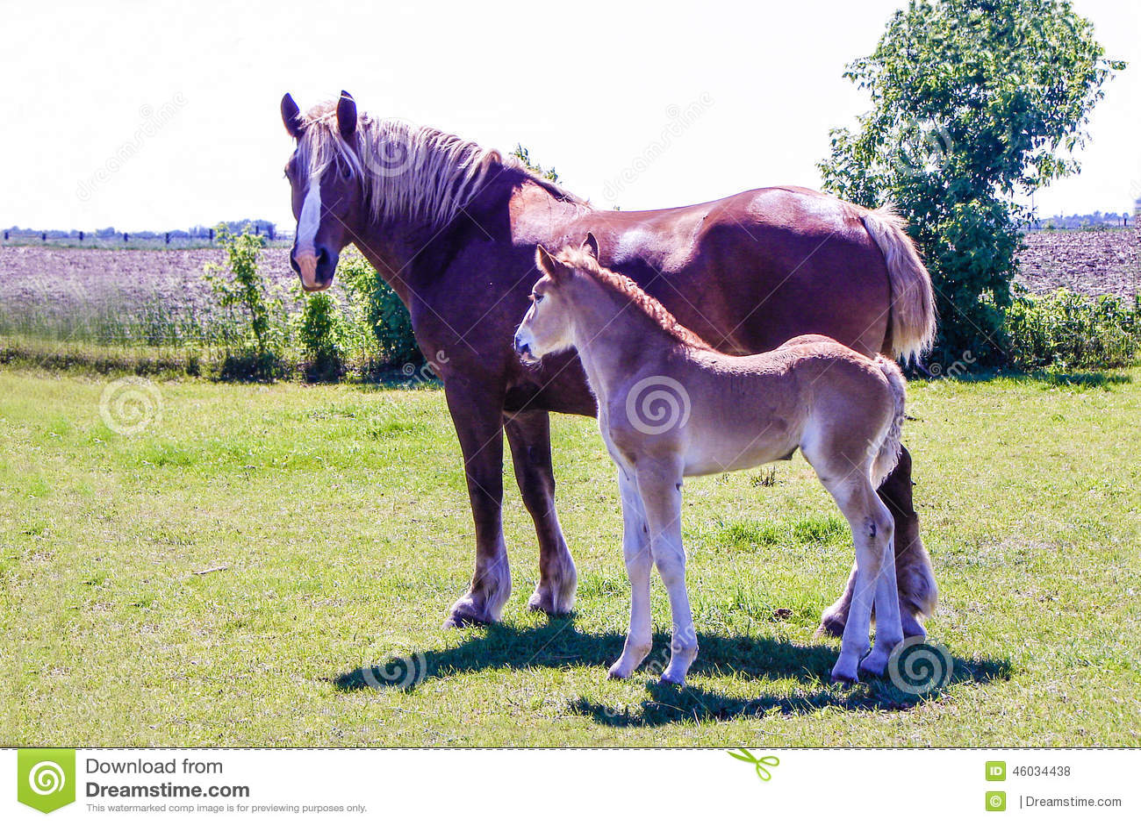 Égua e potro de Amish