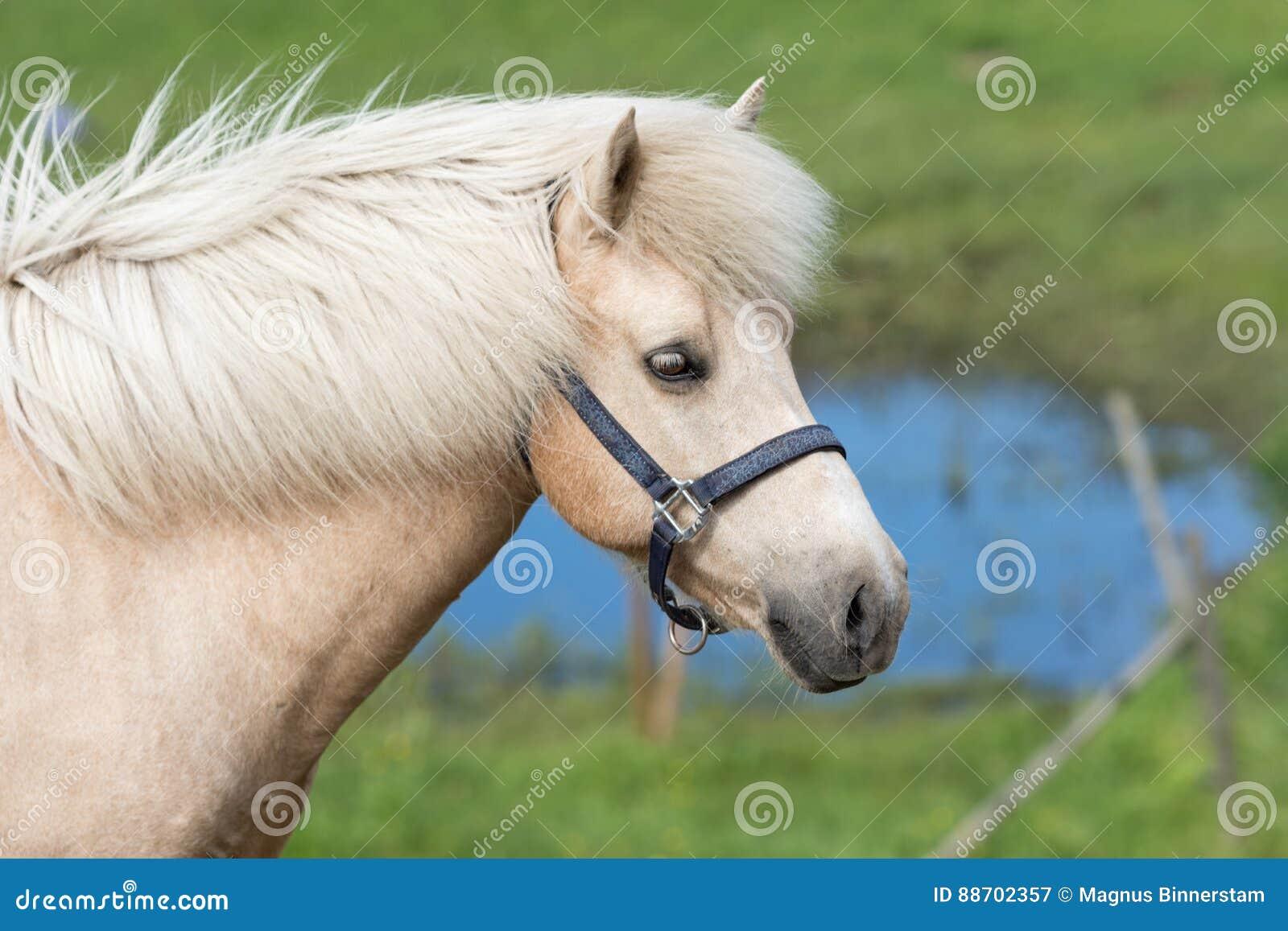 Égua islandêsa do Palomino do cavalo