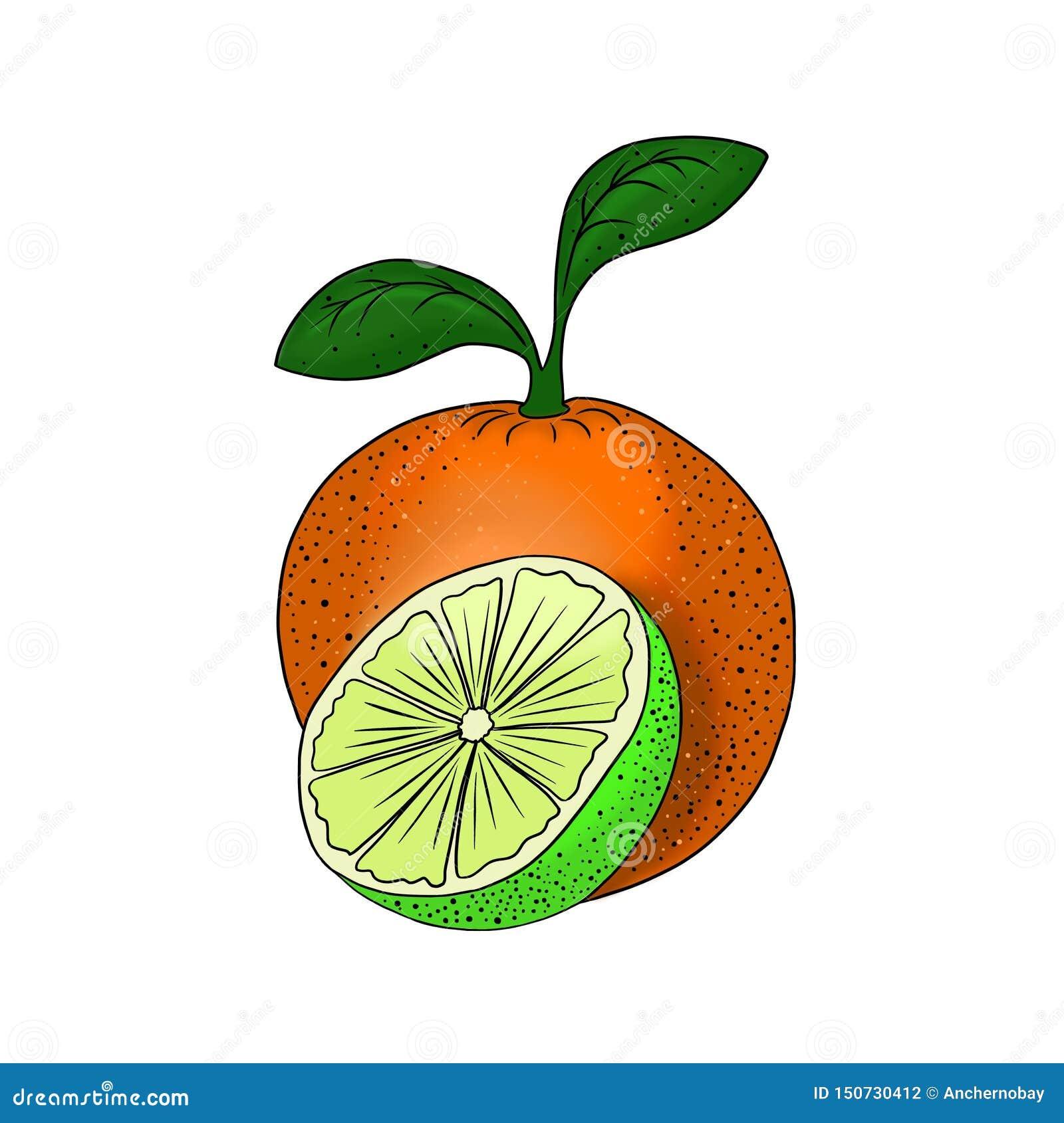 Élément sain végétarien de nourriture d illustration orange de chaux d agrume de fruit pour la conception d isolement sur le fond