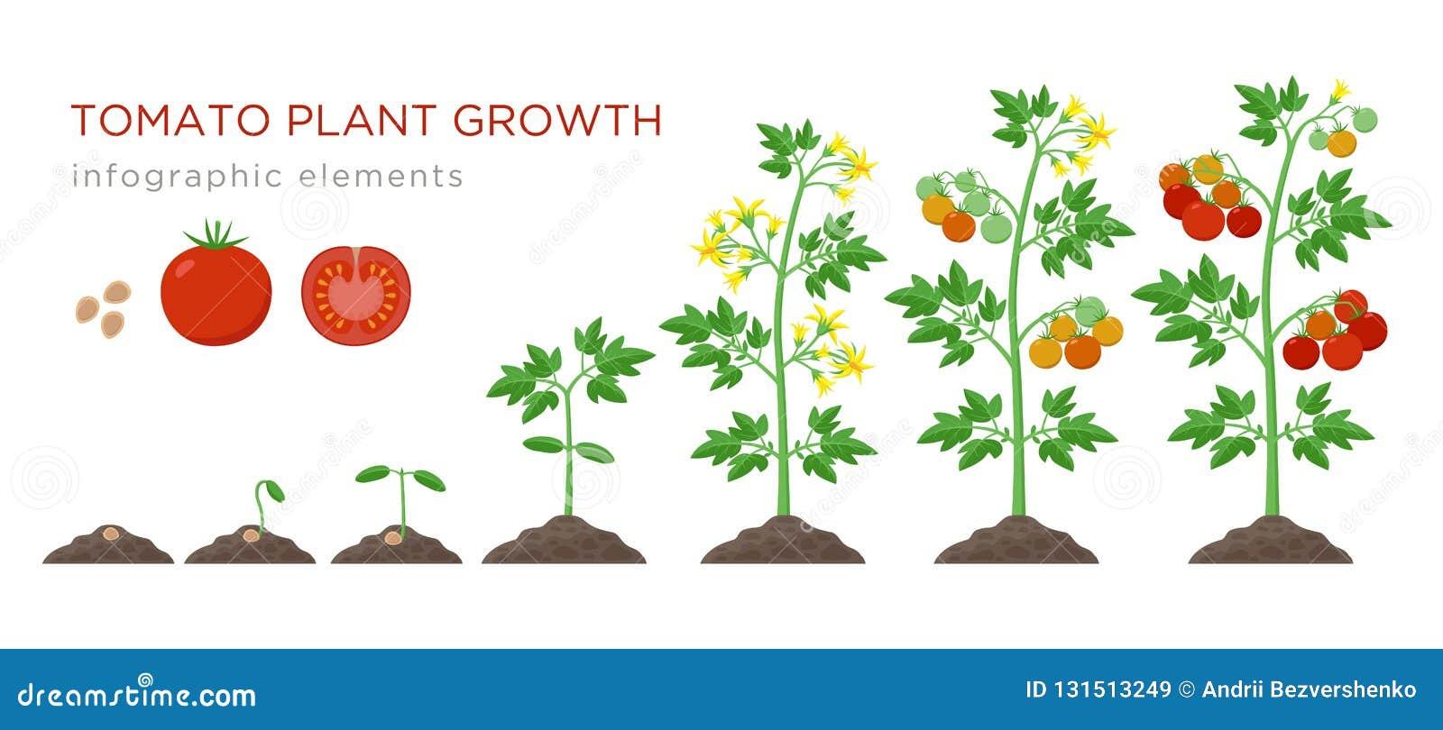 éléments Infographic D étapes De Croissance De Plante De