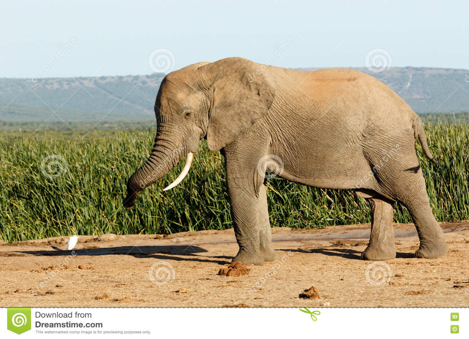 Éléphant énorme de Bush d Africain