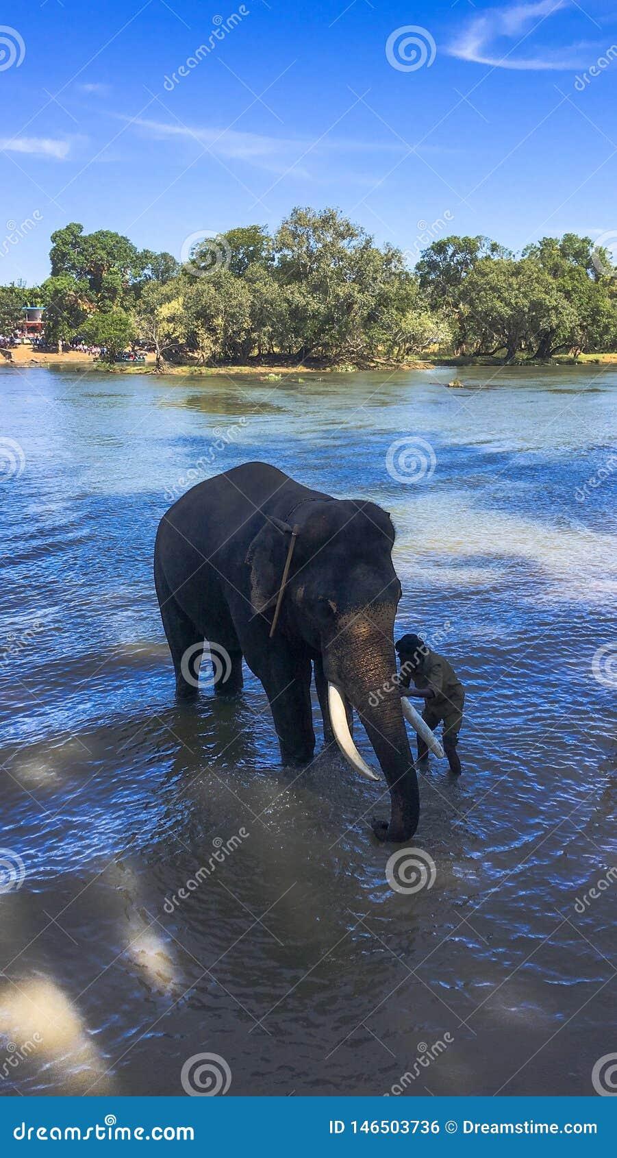 Éléphant étant baigné en rivière