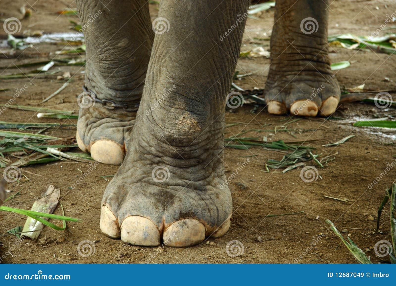 nouveau concept d367c 60649 Éléphant image stock. Image du faune, pieds, patte, éléphant ...