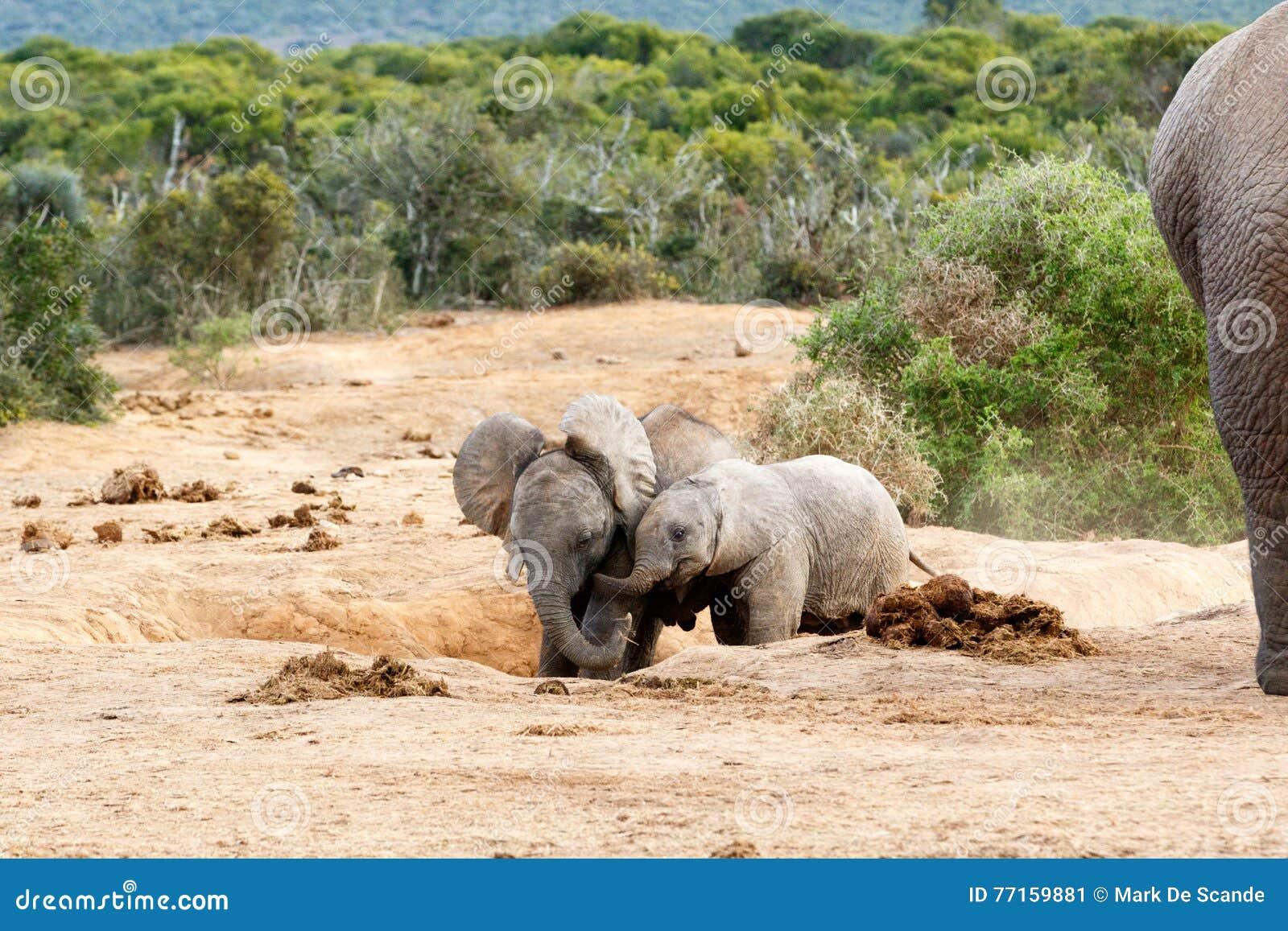 Éléphant africain de Bush