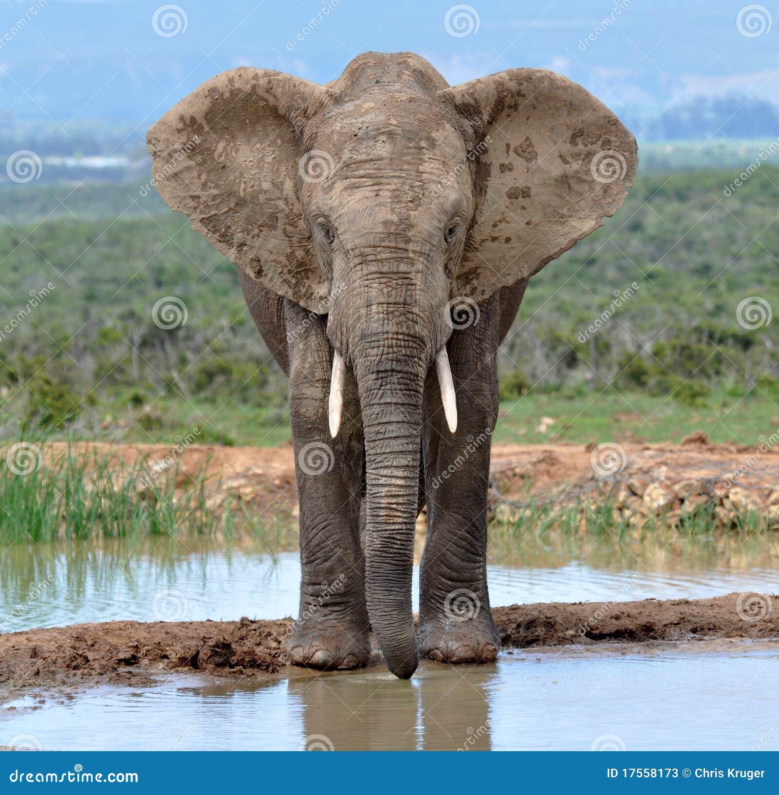 Éléphant africain en Afrique