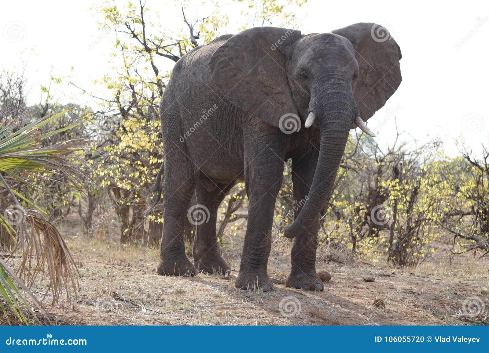 Éléphant africain en parc national de kruger