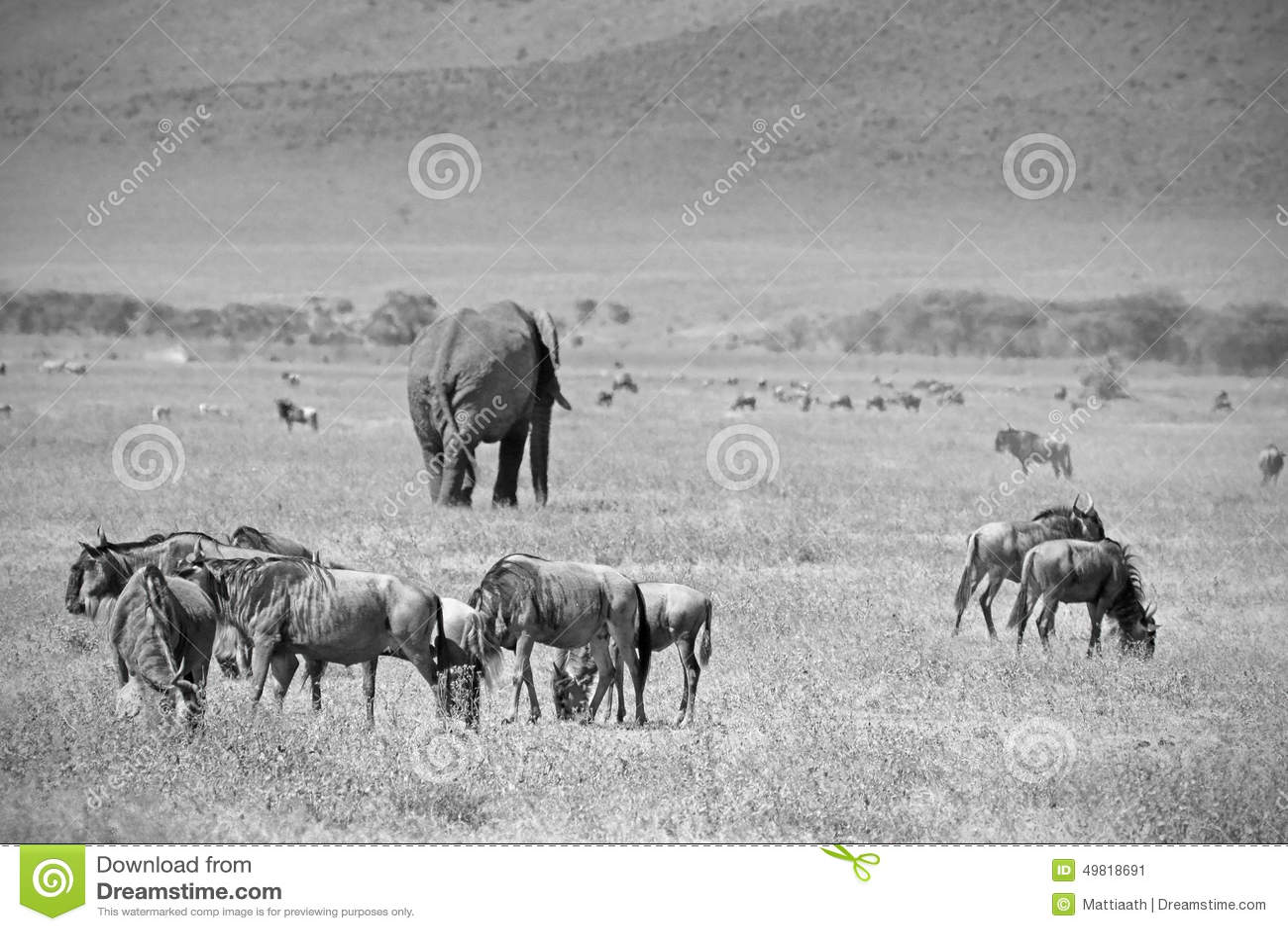 Éléphant africain noir et blanc et wilebeest bleu
