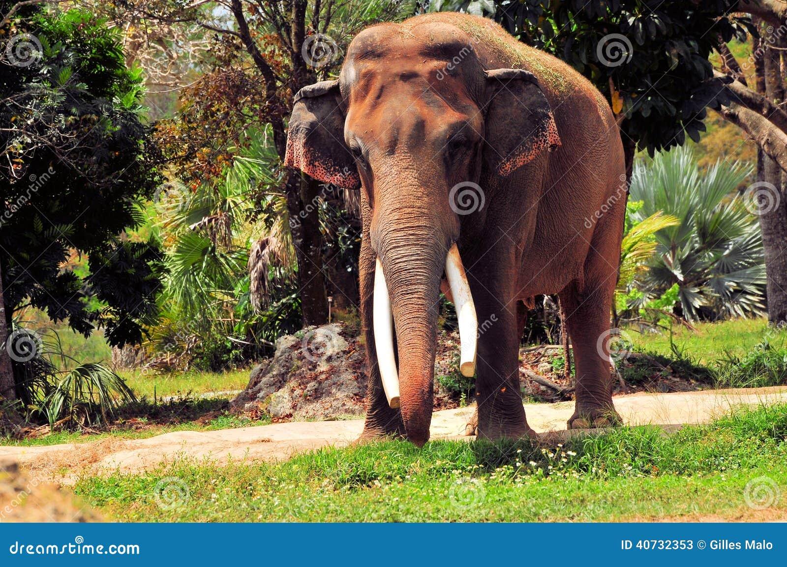 Éléphant asiatique masculin dans le zoo