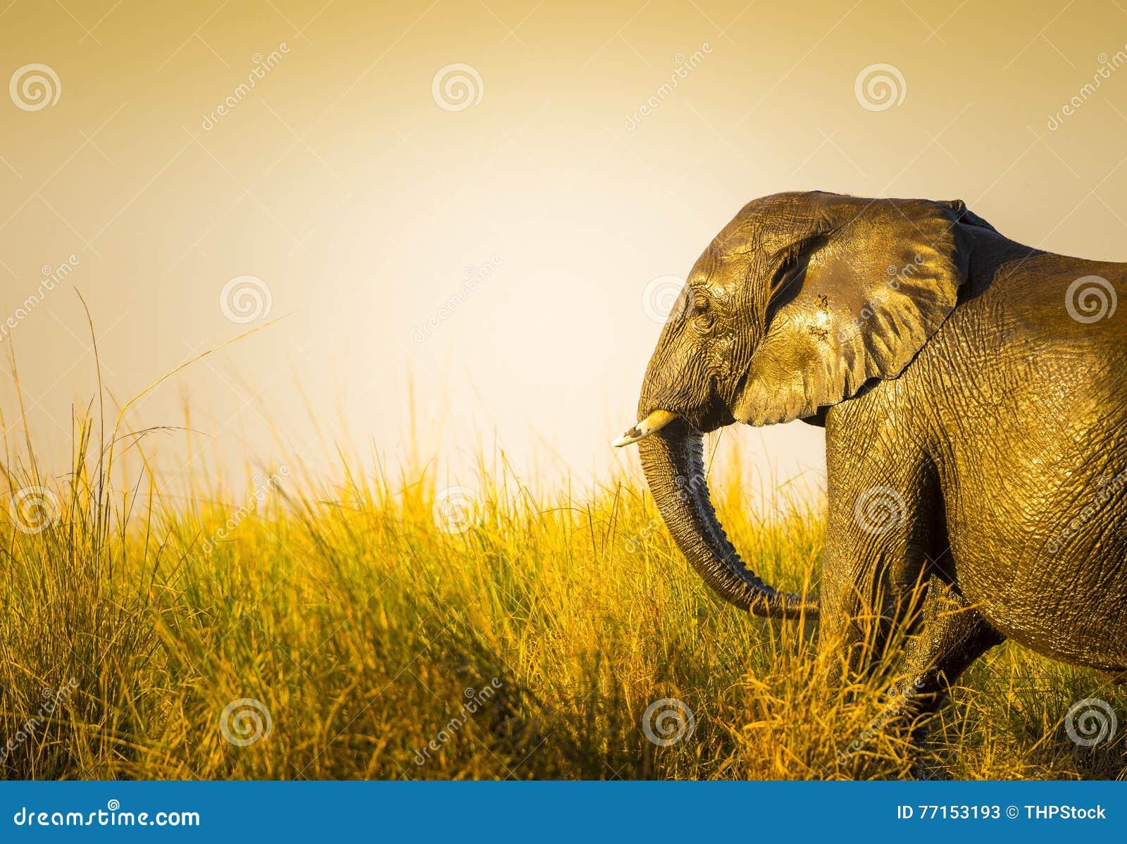 Éléphant au coucher du soleil dans la longue herbe