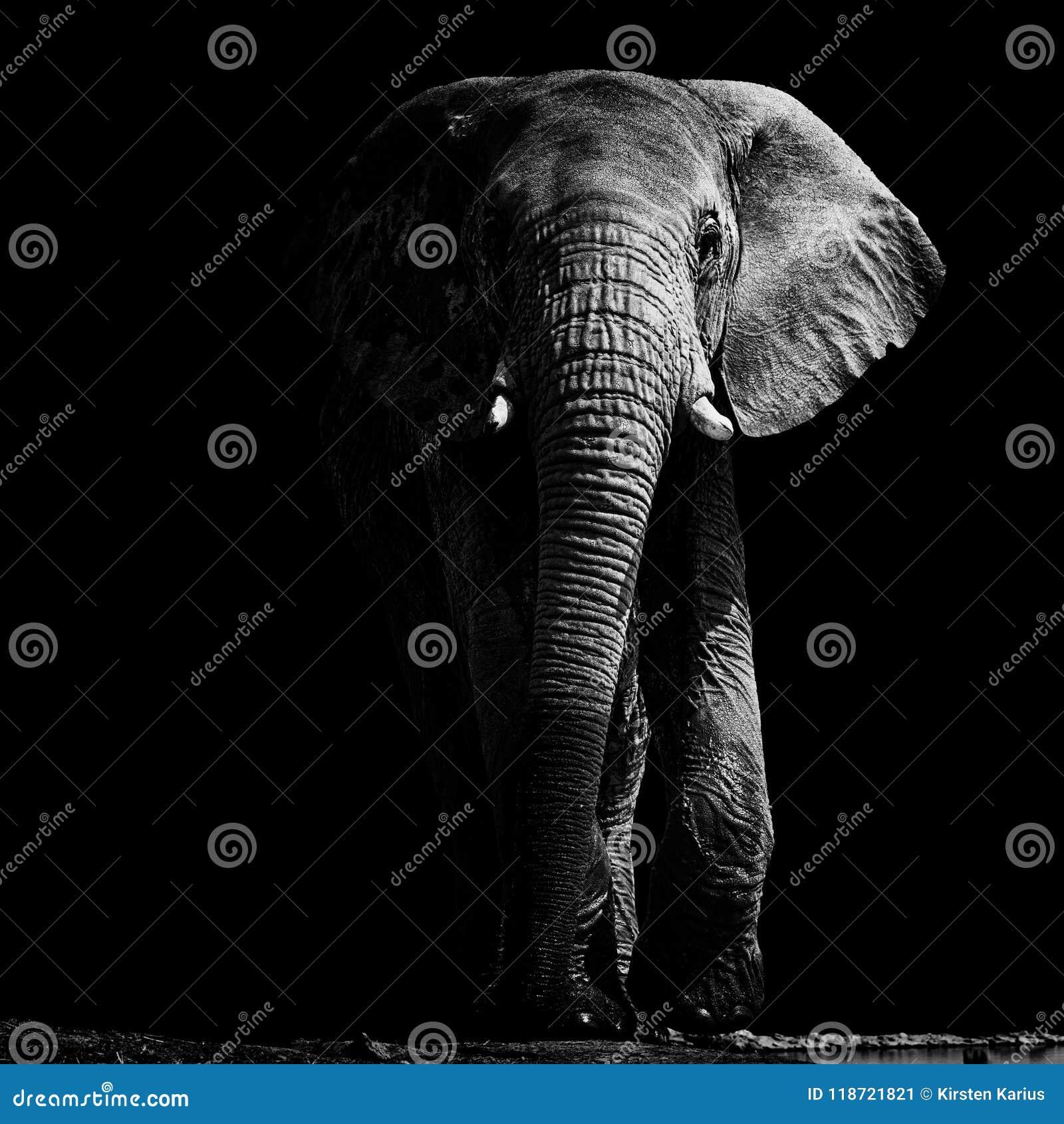 Éléphant au point d eau