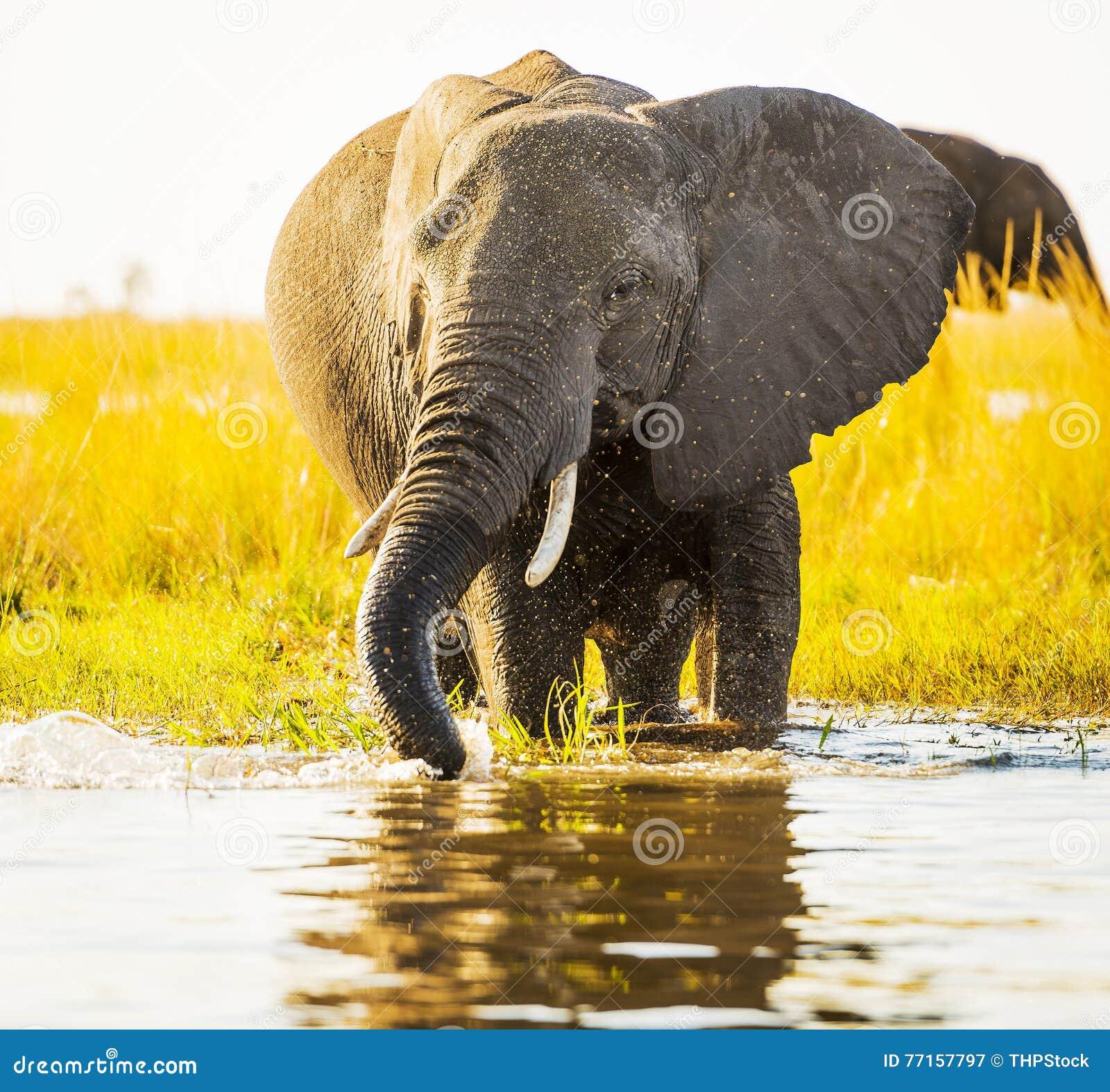 Éléphant avec le jet d eau