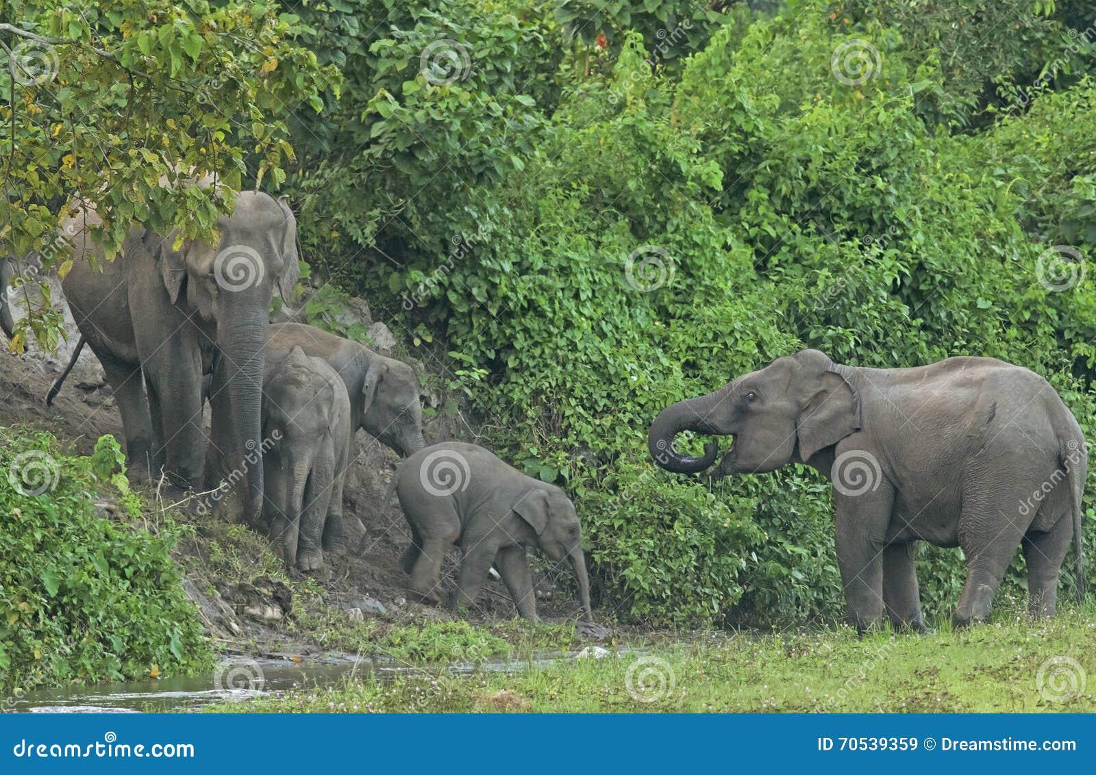 Éléphant d Asie au courant de forêt, le Bengale-Occidental, Inde