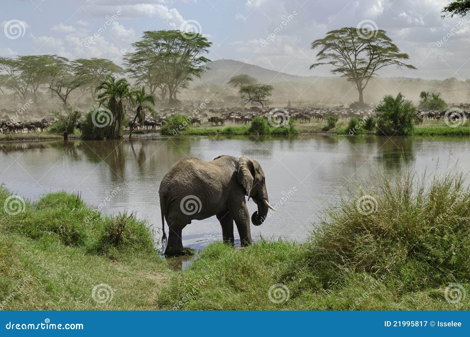 Éléphant dans le fleuve en stationnement national de Serengeti