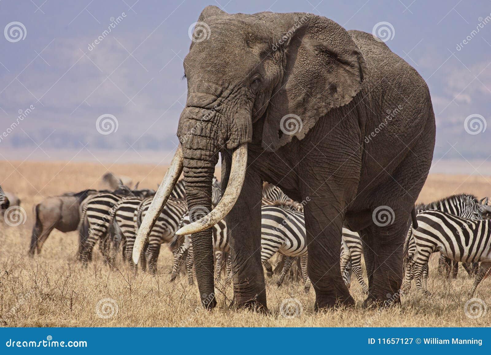 Éléphant de Bull